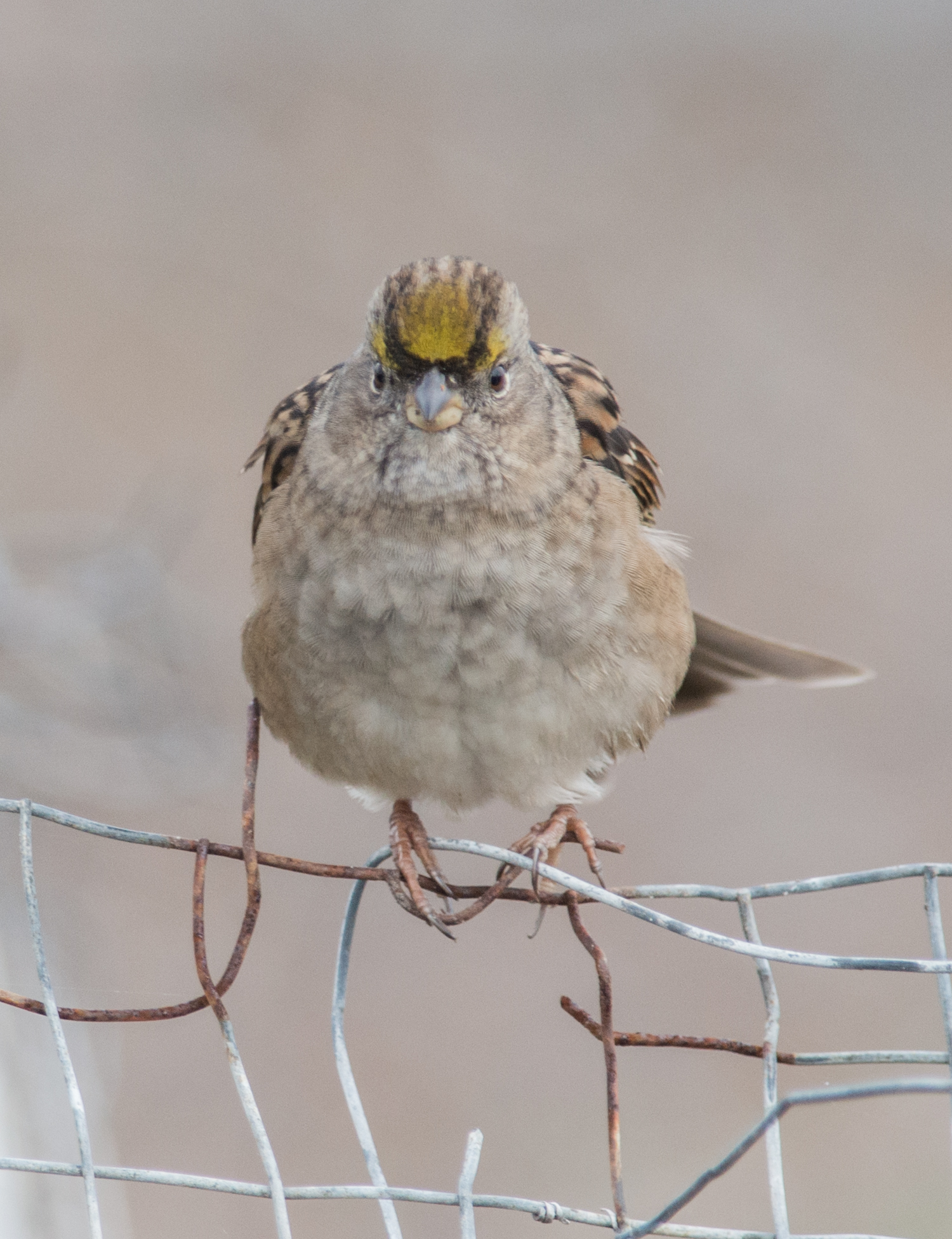 Golden-crowned Sparrow (Zonotrichia atricapilla)   500mm,  1/1000,  f/5.6 , ISO900  10-09-14 10:38 Overcast