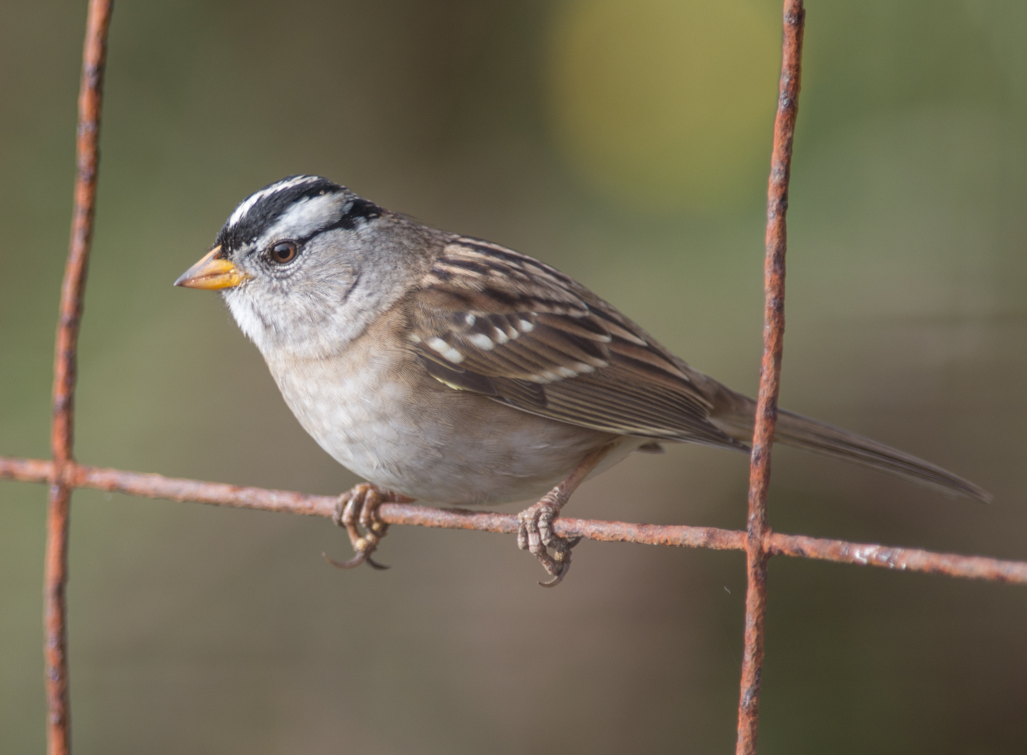 White-crowned Sparrow (Zonotrichia leucophrys)   500mm,  1/640,  f/4.8 , ISO180  10-09-14 9:30 Overcast