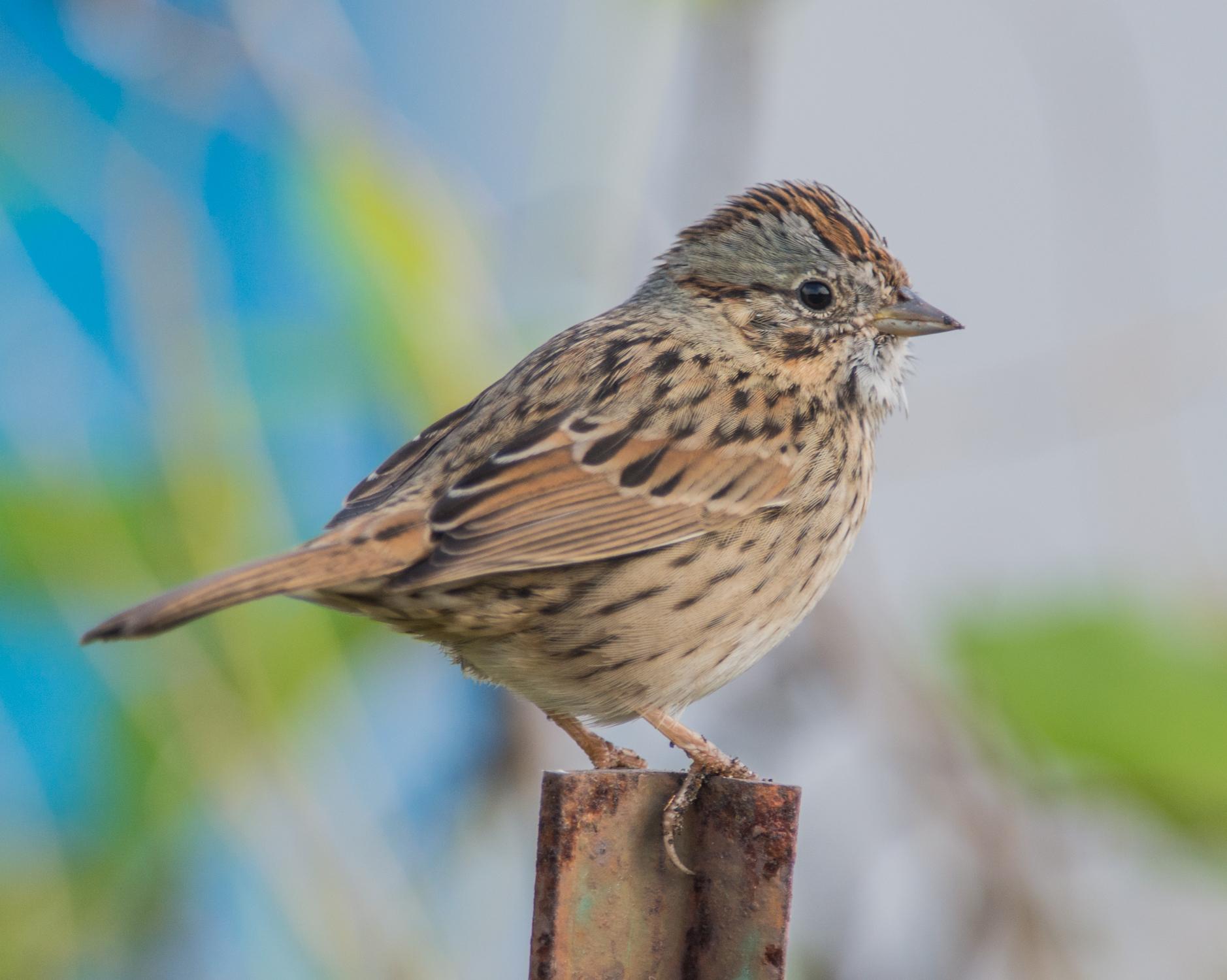 Lincoln's Sparrow (Melospiza lincolnii), Homeless Garden, SCZ (CA)