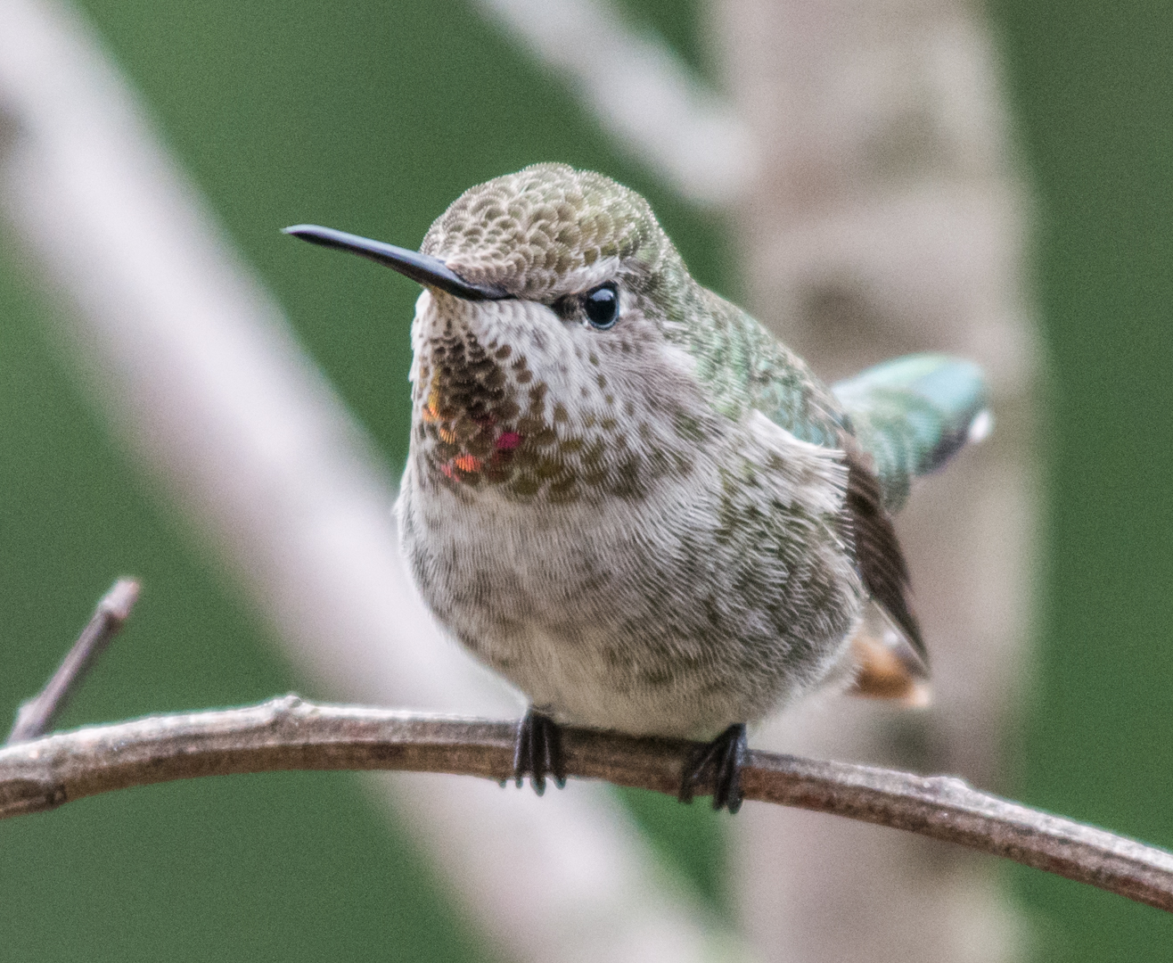 Photo of the Week 15:  Anna's Hummingbird, female (Calypte anna)   EQ: D7100 f/4 70-200mm with 1.4x TC  Taken: 11-22-14 13:29  Setting: 420mm, 1/640s, f/5.6, ISO1600  Condition: Clouds and in shade