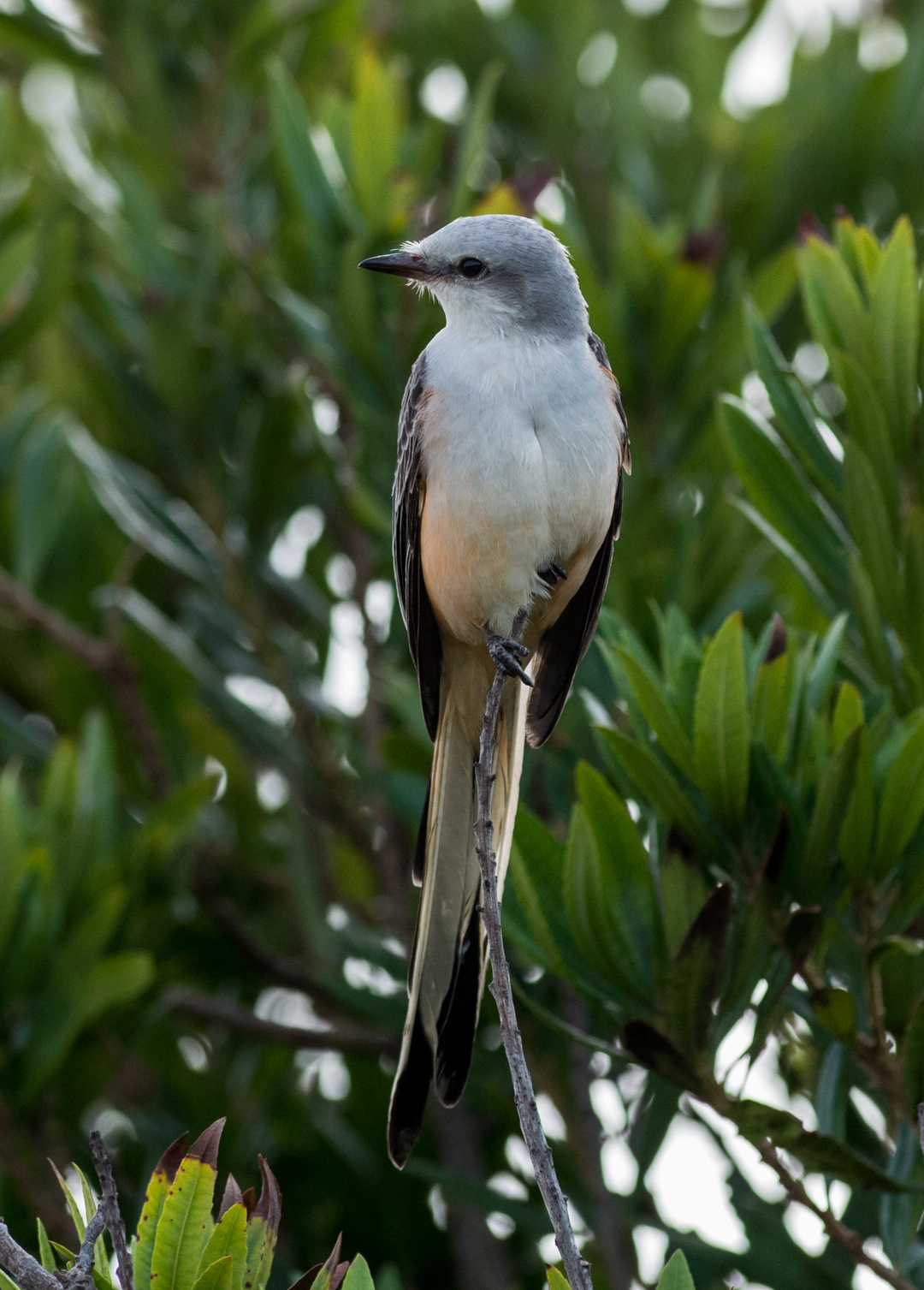 Featured Photo 16: Scissor-tailed Flycatcher (Tyrannus forficatus)  EQ: D800 f/2.8 300mm  Taken: 12-06-14 12:25  Setting: 300mm, 1/2000s, f/5.0, ISO1000  Condition: Partial Clouds, storm ending