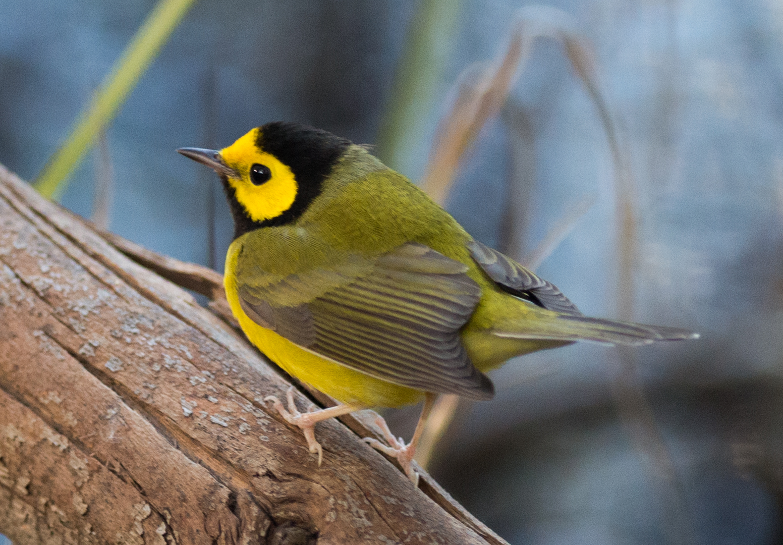 Featured Photo 18: Hooded Warbler (Wilsonia citrinaI)  EQ: D800 300mm f/2.8 VR on  Taken: 1-16-15 10:05  Setting: 300mm, 1/320s, f/2.8, ISO1600  Condition: Shady in tree grove and under brush