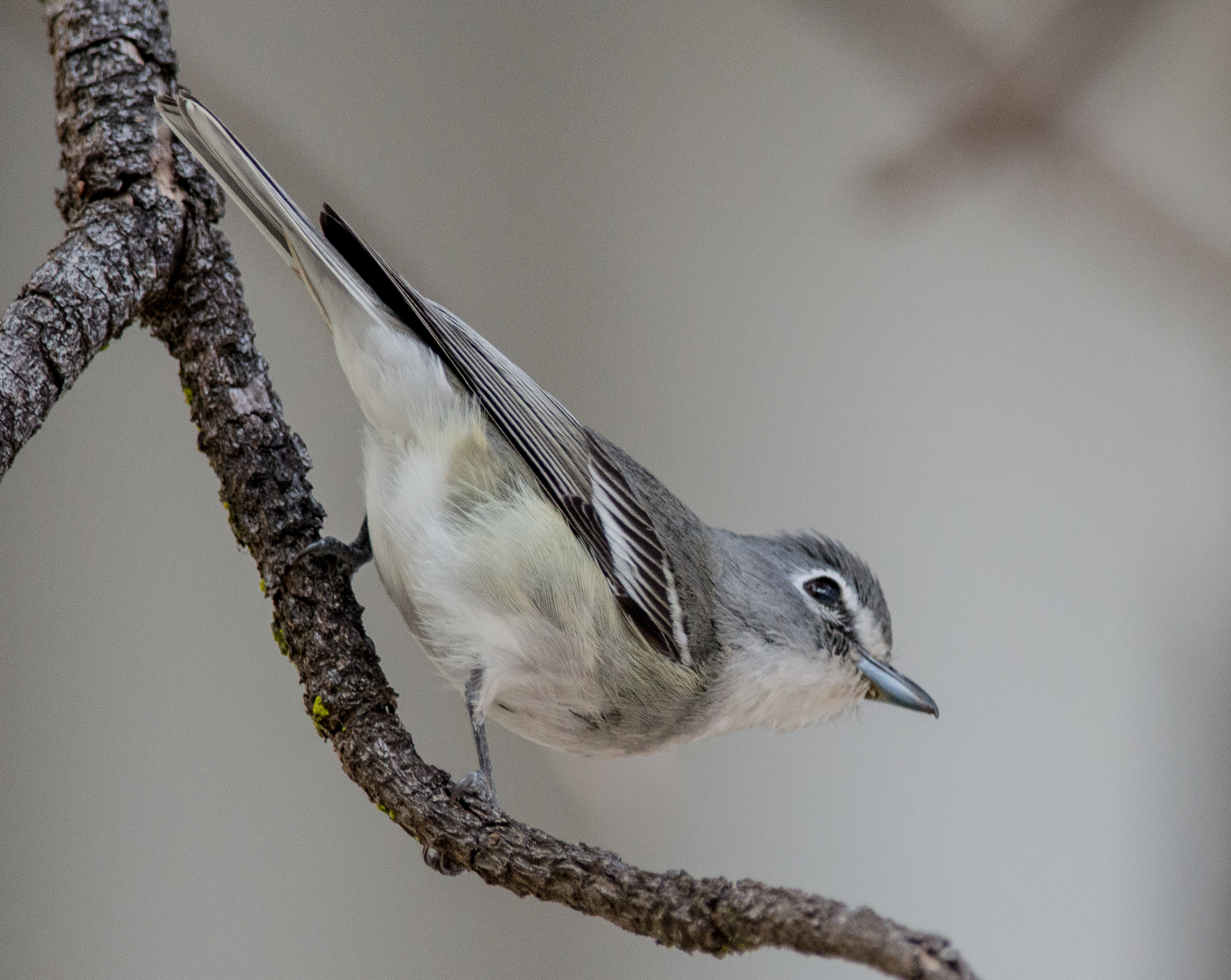 Featured Photo 19: Plumbeous Vireo (Vireo plumbeus)  EQ: D800 300mm f/2.8 with 1.7x TC  Taken: 12-27-13 13:22  Setting: 500mm, 1/640s, f/4.8, ISO1400  Condition: Shady tree grove