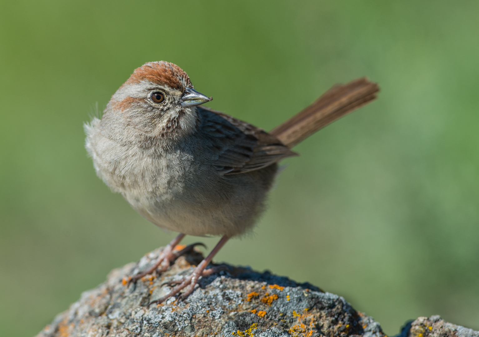 Featured Photo 21: Rufous-crowned Sparrow (Aimophila ruficeps)  EQ: D800 f/2.8 300mm  Taken: 3-1-15 12:38  Setting: 300mm, f/6.3, 1/1000s, ISO250  Condition: Sunny
