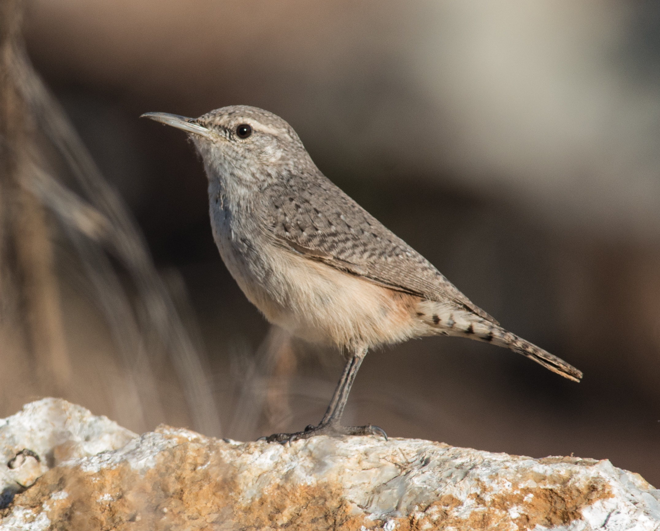 Rock Wren (Salpinctes obsoletus)  Taken: 11-19-14 9:41 at UCSC Farm  1/1000, ISO720, f/8, 500mm