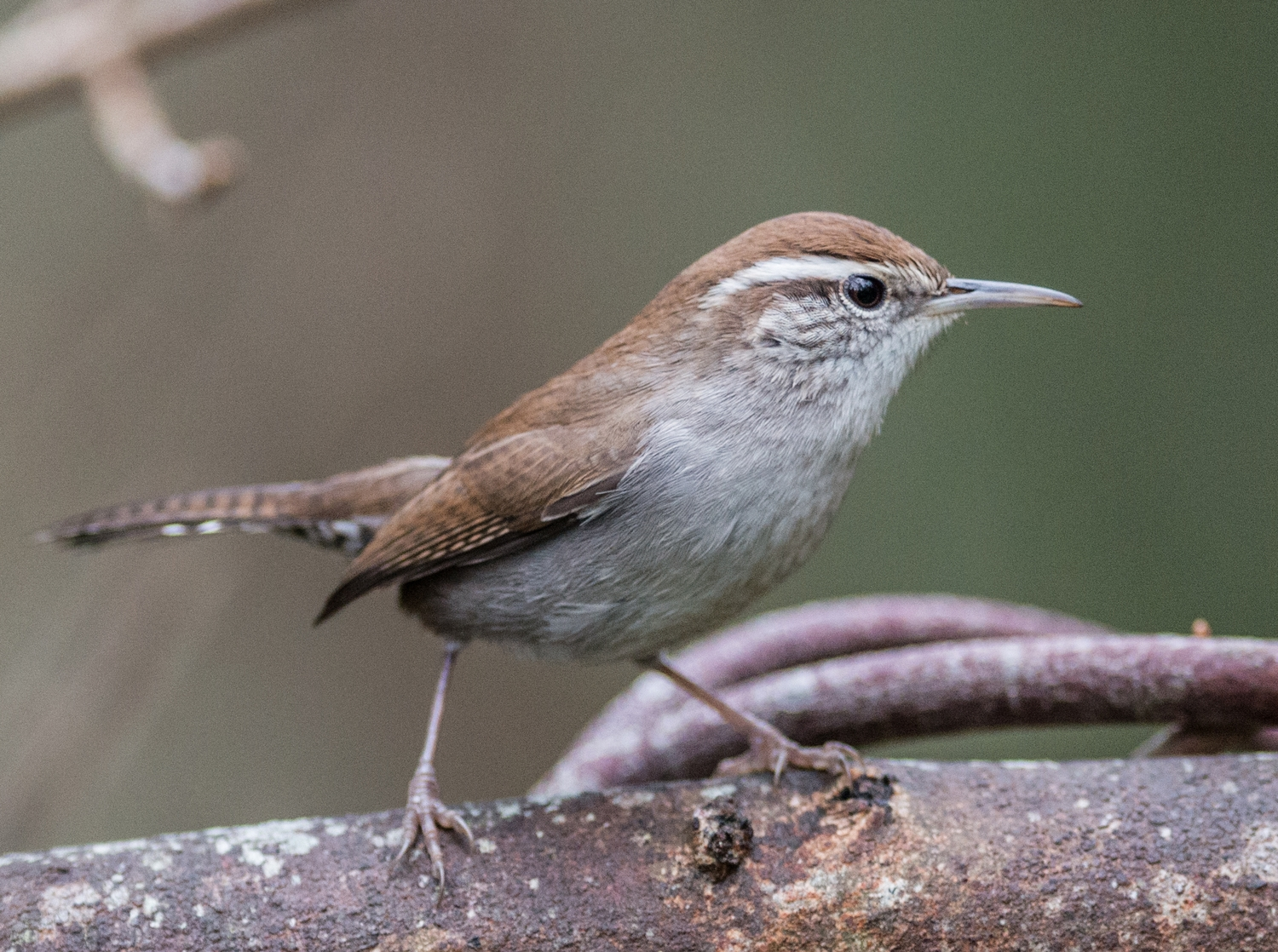 Bewick's Wren (Thryomanes bewickii)  Taken: 12-5-14 10:04 at Natural Bridges SB  1/500, ISO1600, f/2.8, 300mm