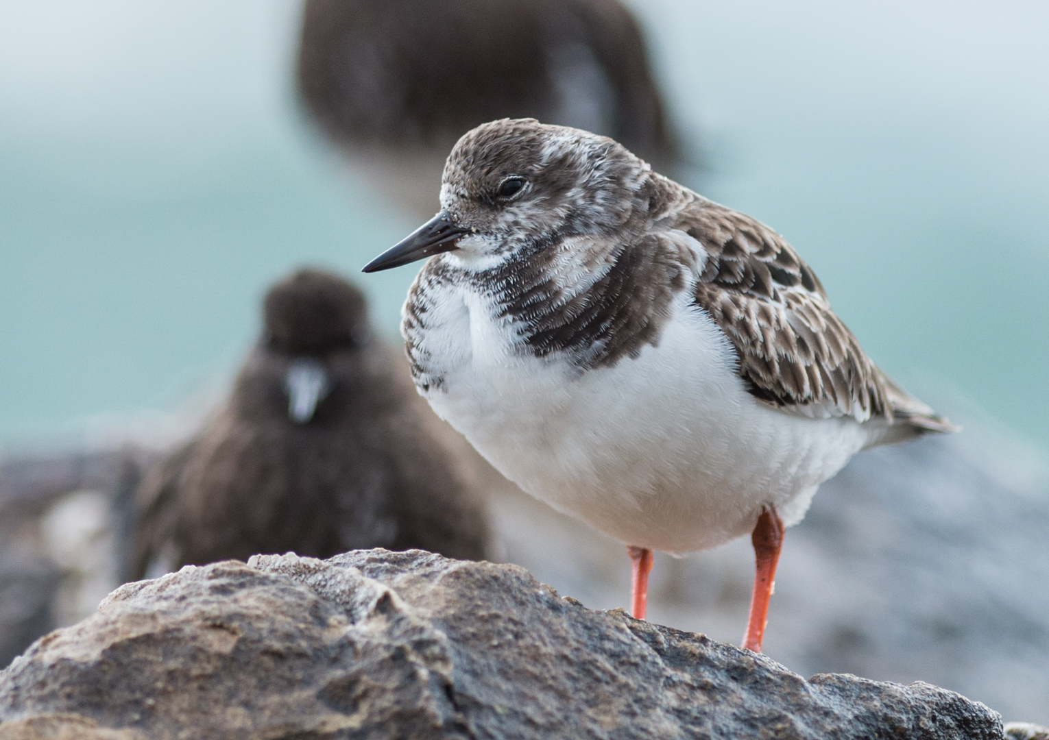 Featured Photo 23: Ruddy Turnstone (Arenaria interpres)  EQ: D800 f/2.8 300mm  Taken: 3-2-15 8:03  Setting: 300mm, 1/640s, f/3.2, ISO640  Condition: Foggy