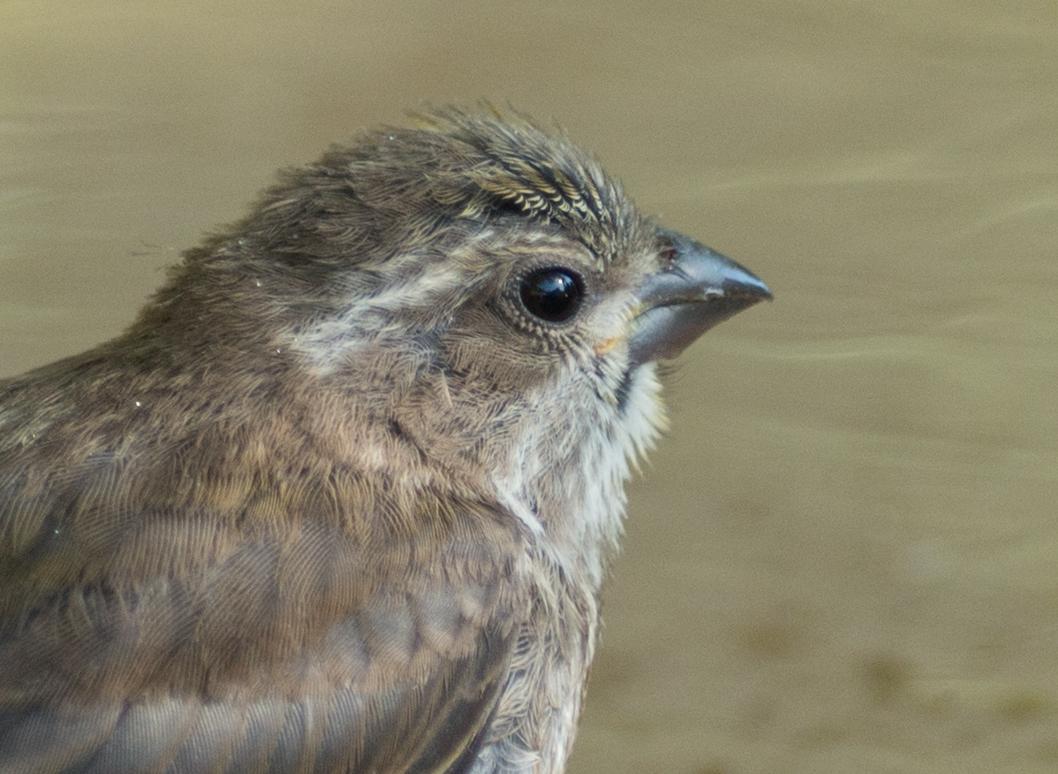 Purple Finch, juvenile (Carpodacus purpureus)  EQ: D800 300mm f/2.8  Taken: 6-23-15 17:40 Sunny in Shade  Setting: 450mm (@35mm), 1/640s, f/2.8, ISO400