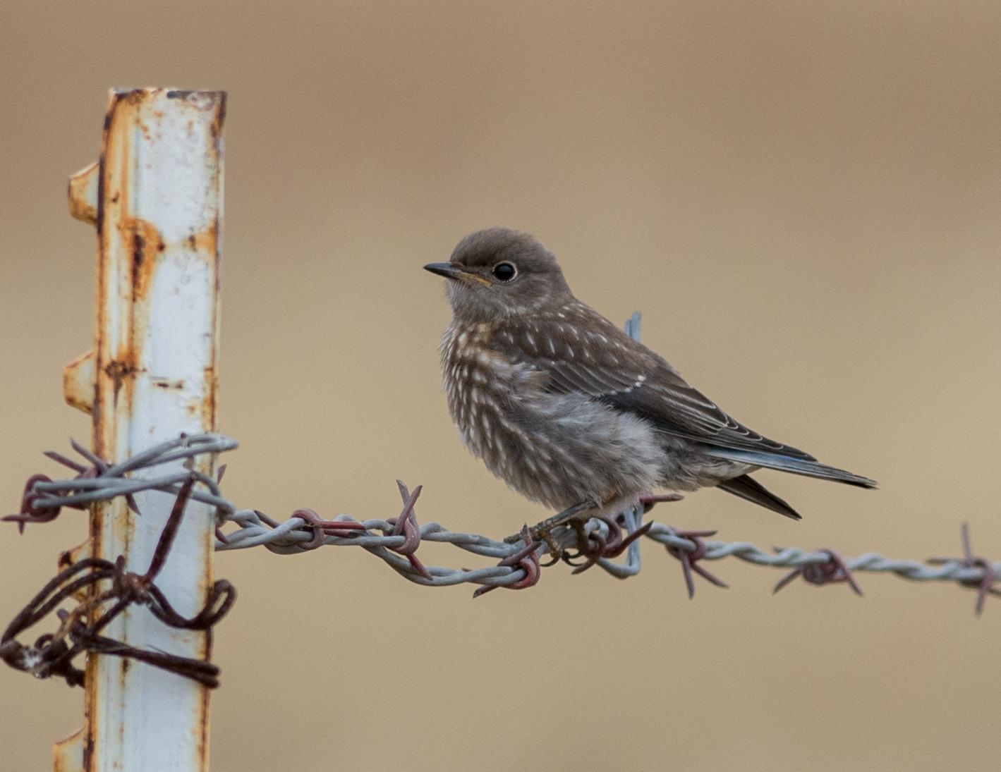 Western Bluebird (Sialia mexicana)  EQ: D7200 300mm f/2.8  Taken: 7-3-15 9:35 Foggy  Setting: 450mm (@35mm), 1/1600s, f/4.5, ISO500