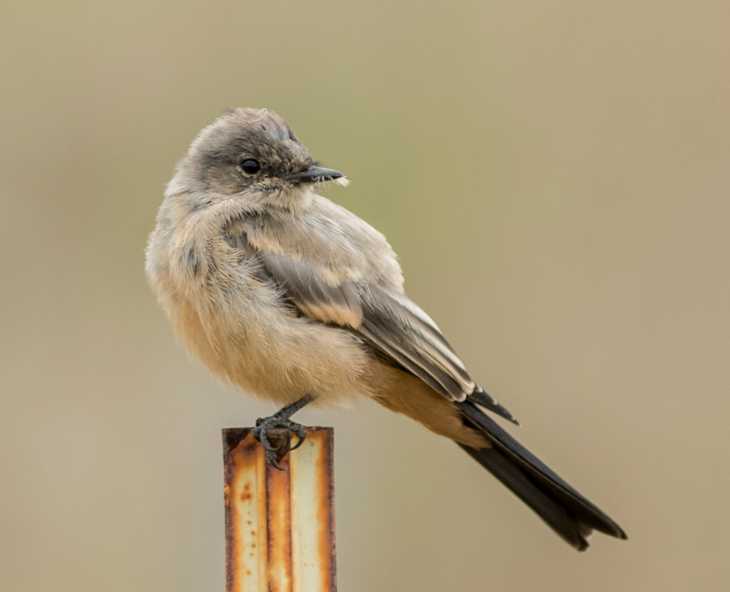 Featured Photo 27:  Say's Phoebe  ( Sayornis saya ) at Terrace Point  EQ: D800 300mm f/2.8  Taken: 5-16-15 10:02  Setting: 300mm, 1/2000s, f/2.8, ISO360