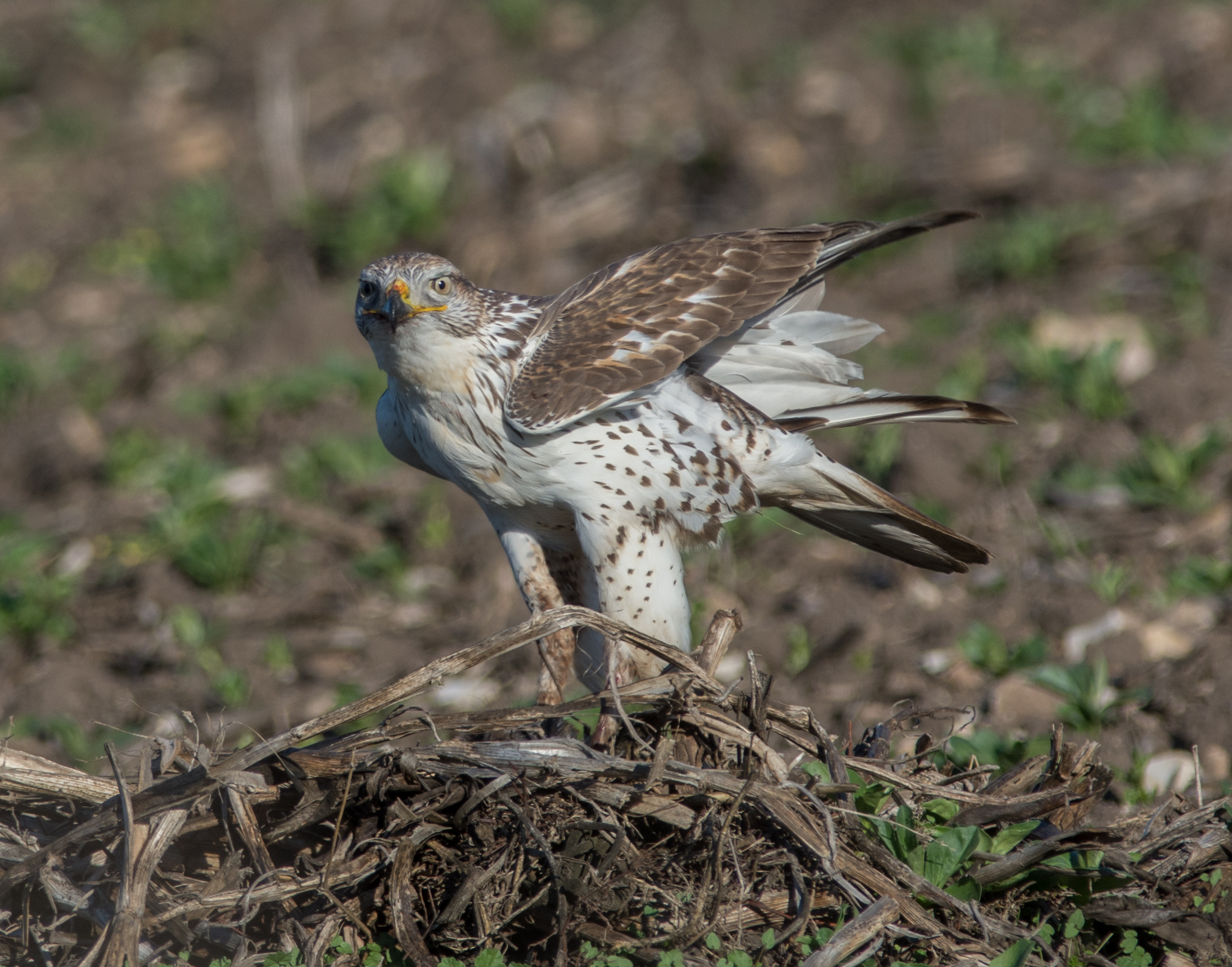 Photo of the Week 29: Ferruginous Hawk (Buteo regalis)  EQ: D720, 300mm f/2.8 with 1.4x TC  Taken: 11-27-2015 at 9:59a   Settings: 630mm eqv, 1/1000s, f/5.6, ISO250, +1/3EV  Conditions: Sunny and clear