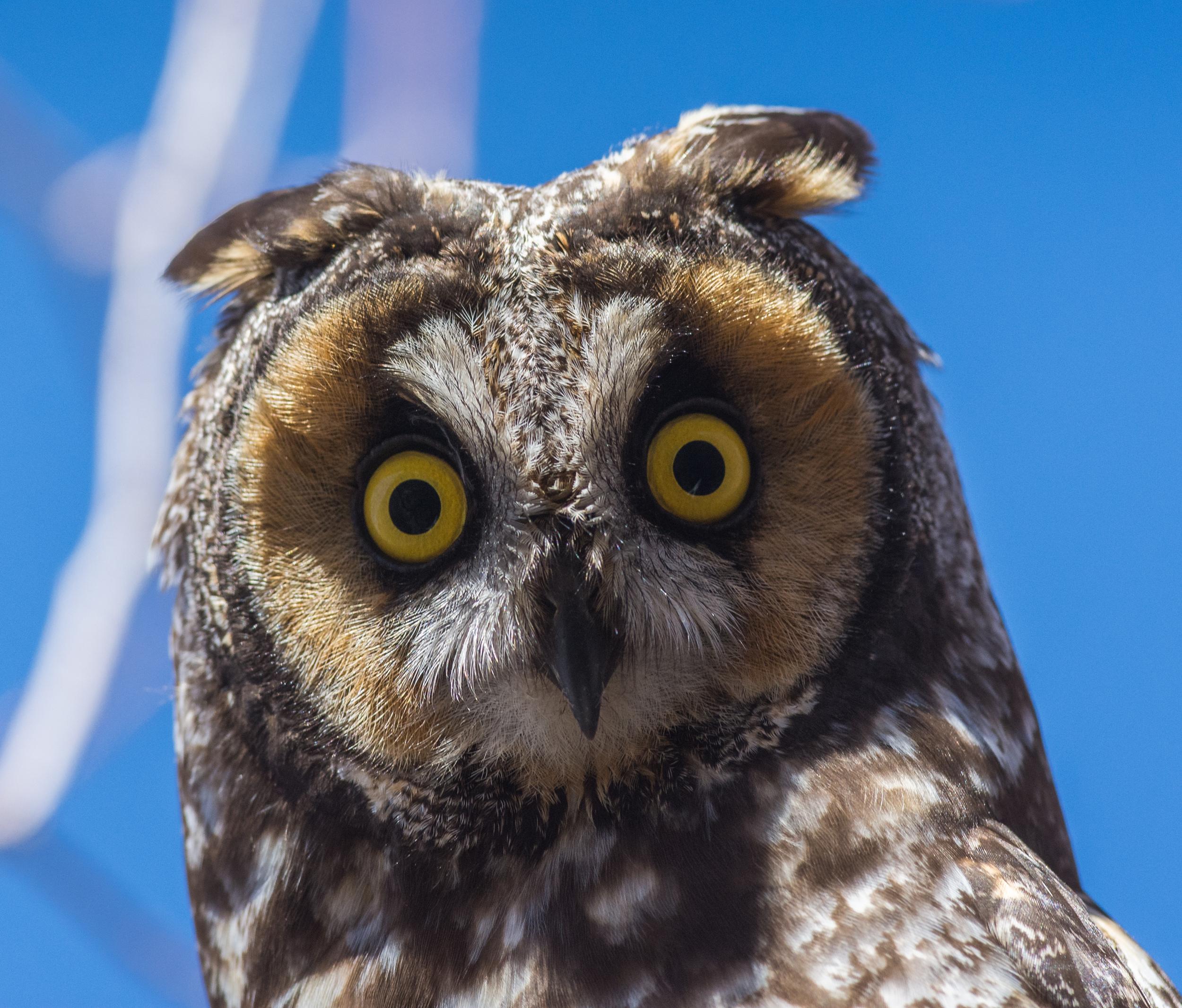 Long-eared Owl (Asio otus) taken a Washoe SP (NV)