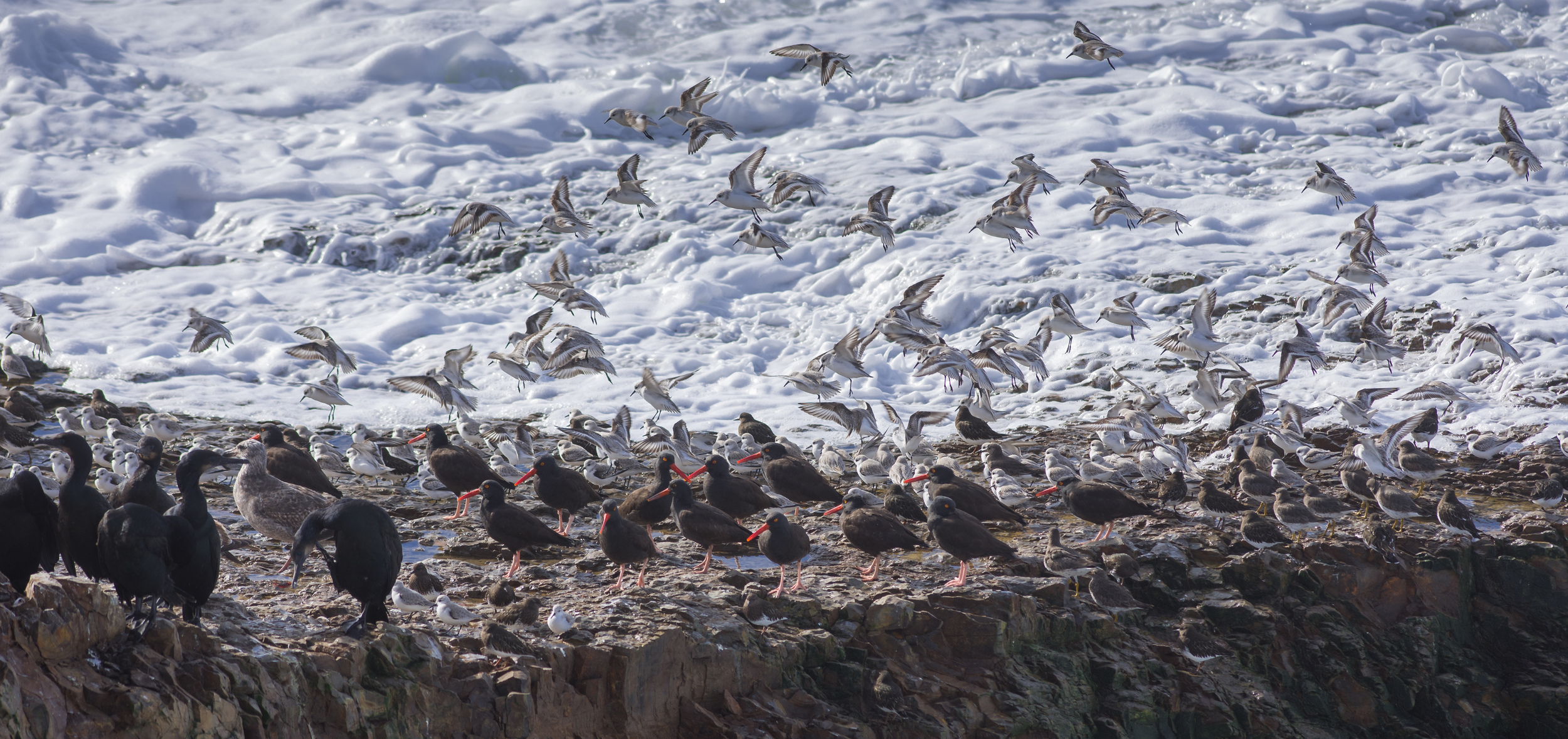 Brandt's Cormorants, Oystercatchers, Surfbird, Turnstone, and Sanderlings fight the high surf - Baldwin Creek, SCZ (CA)