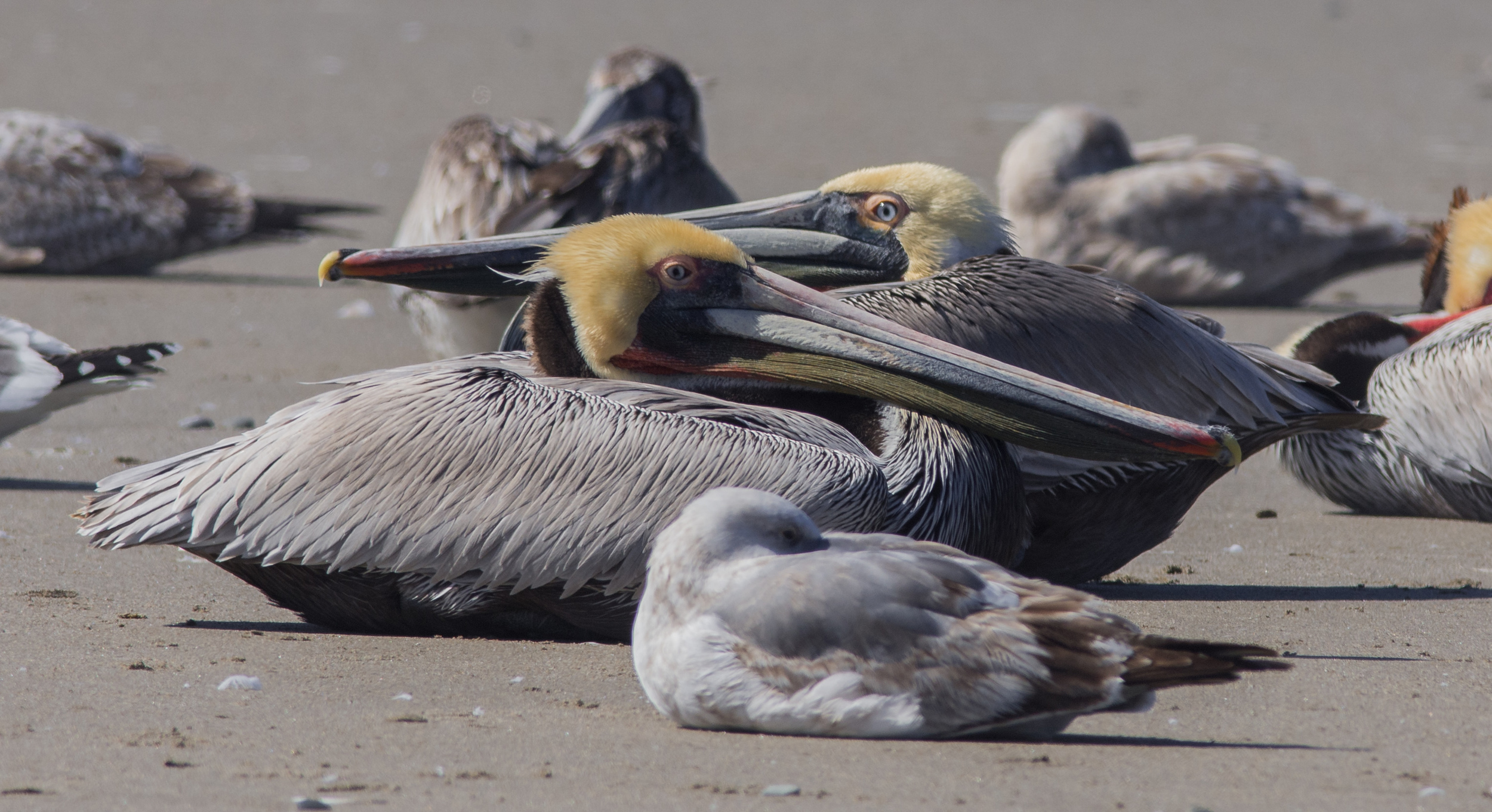 Photo of the Week 32: Brown Pelican (Pelecanus occidentalis) at the Pajaro River Mouth  EQ: D7200, 300mm f/2.8 with 1.4 TC  Taken: 3-2-2016 at 12:39   Settings: 630mm (35mm eqiv), 1/1000s, f/6.3, ISO250, +1/3EV  Conditions: Sunny