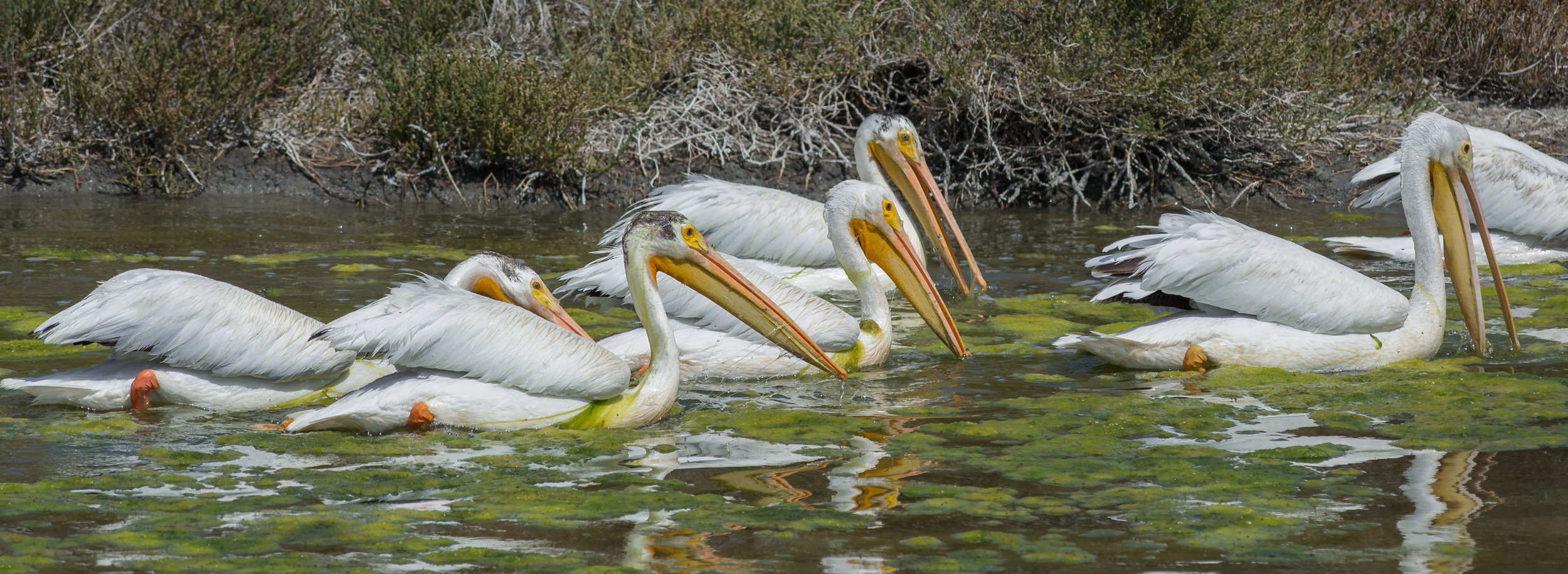American White Pelican (Pelecanus erythrorhynchos) at Sunnyvale WPCP  EQ: D7100, 300mm f/2.8  Taken: 6-20-2015 at 10:41   Settings: 450mm (35mm eqiv), 1/1600s, f/5.0, ISO200, +2/3EV  Conditions: Sunny