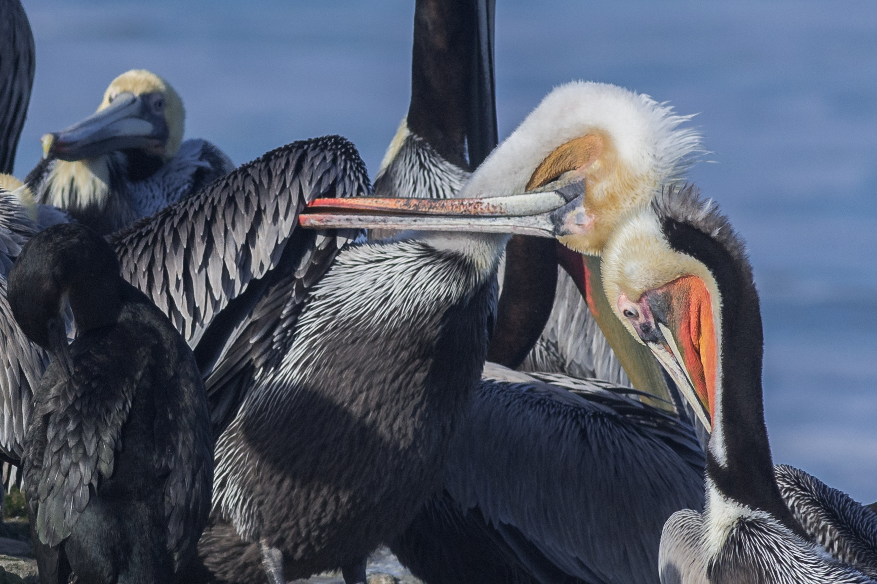 Brown Pelican (Pelecanus occidentalis) at Natural Bridges SB  EQ: D7200, 300mm f/2.8  Taken: 2-4-2016 at 10:27   Settings: 450mm (35mm eqiv), 1/1000s, f/6.3, ISO250, +1/3EV  Conditions: Sunny
