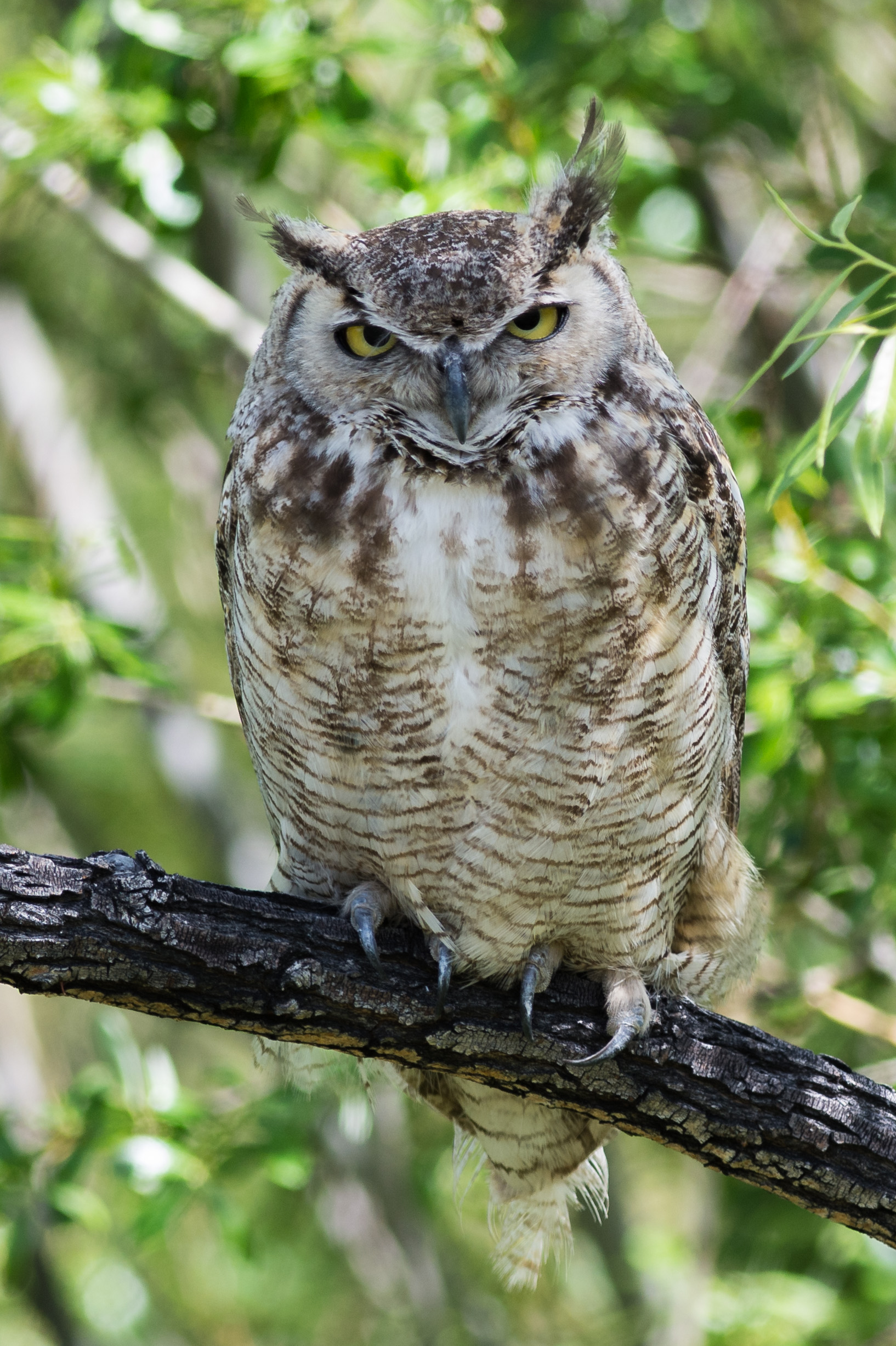 Great Horned Owl (Bubo virginianus) at Washoe SP, WAS (NV)  EQ: D7200, 300mm f/2.8    Taken: 5-12-2016 at 10:58   Settings: 450mm (35mm eqiv), 1/640s, f/3.5, ISO320, +1/3EV     Conditions: Sunny