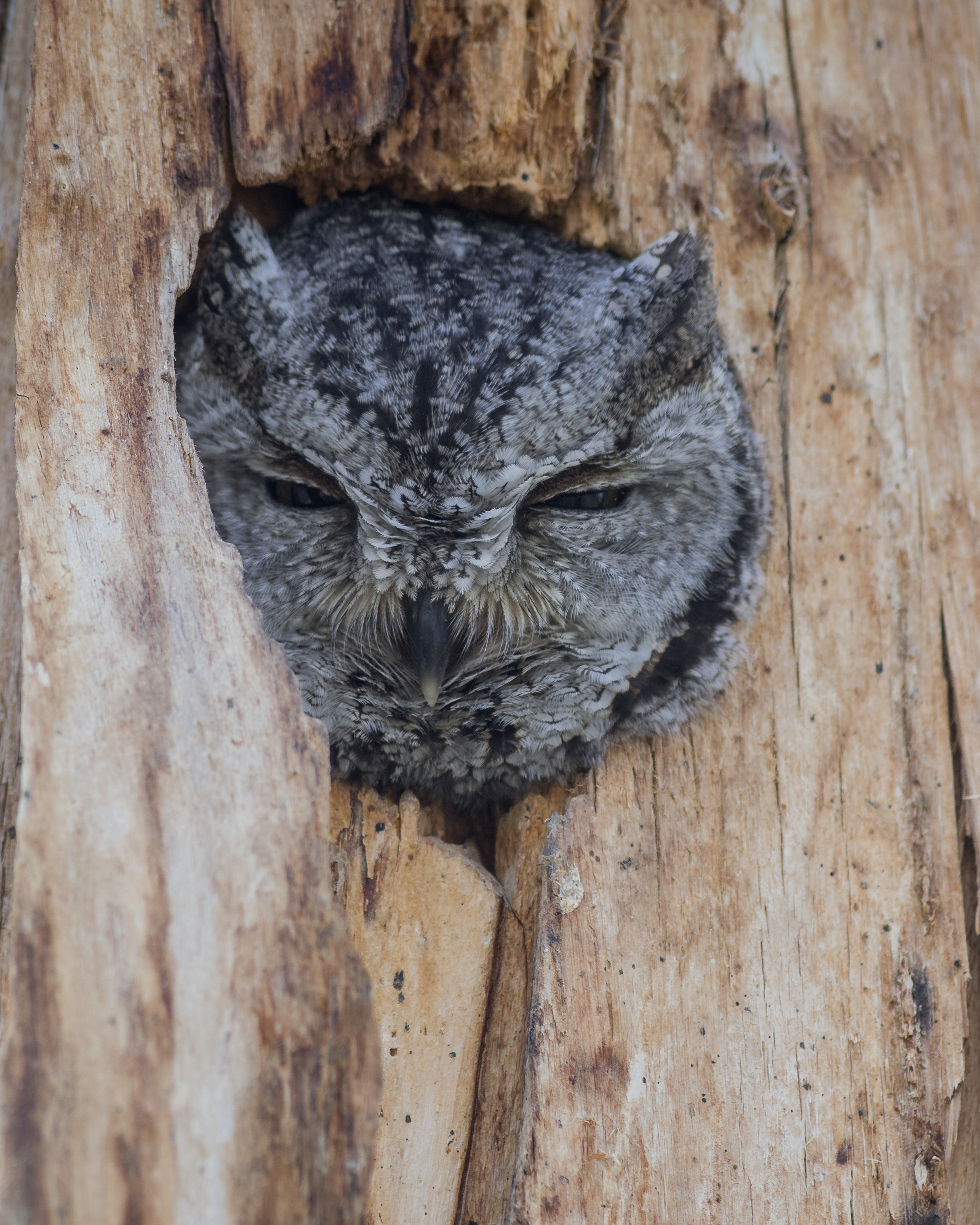Western Screech Owl (Megascops kennicottii) at Washoe SP, WAS (NV)  EQ: D7200, 300mm f/2.8    Taken: 2-15-2016 at 14:21   Settings: 450mm (35mm eqiv), 1/250s, f/4.0, ISO400, +1/3EV     Conditions: Sunny