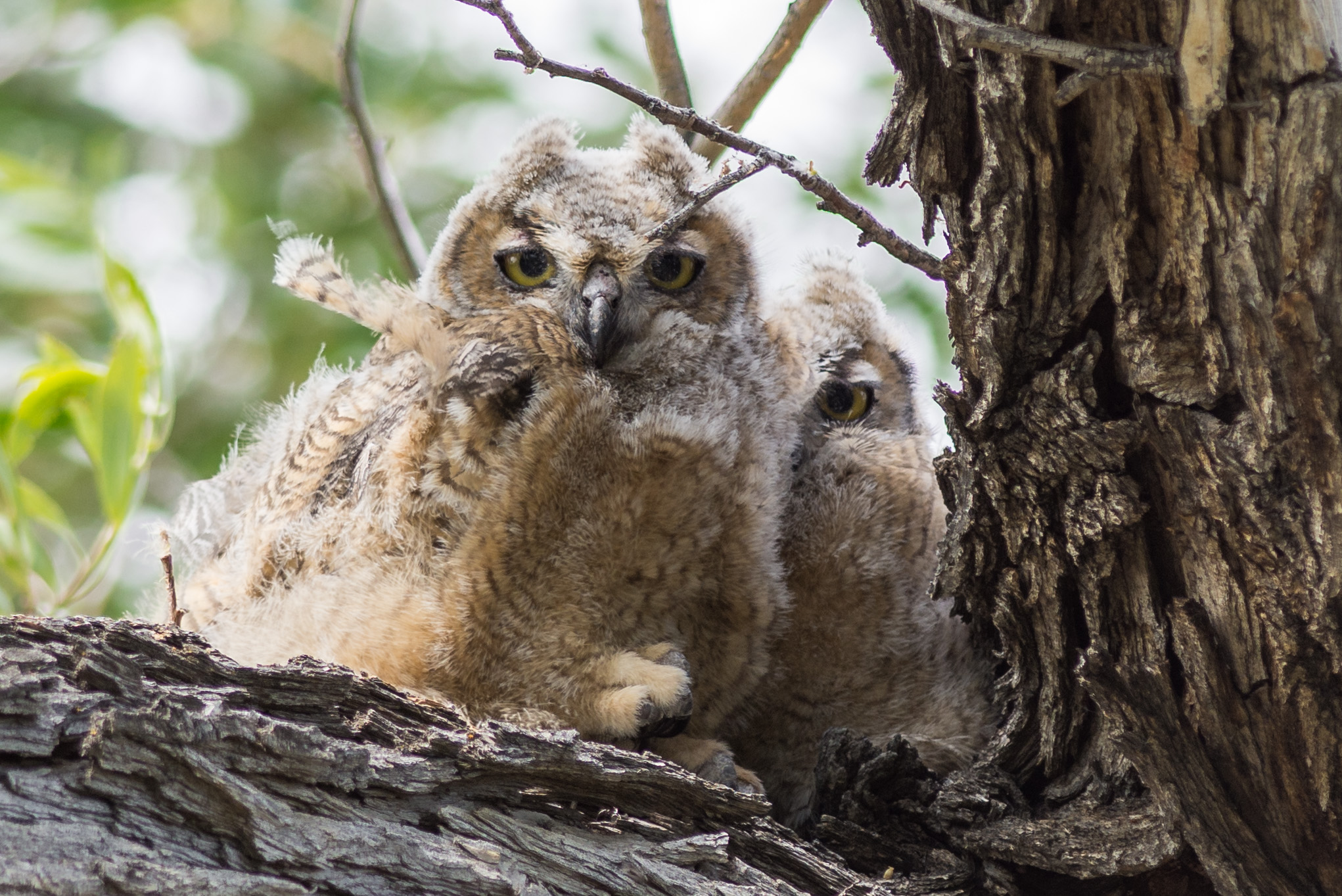 Great Horned Owl, juvenile (Bubo virginianus) at Pyramid Lake - Willows, WAS (NV)  EQ: D7200, 300mm f/2.8    Taken: 5-19-2016 at 11:13   Settings: 450mm (35mm eqiv), 1/640s, f/3.2, ISO180, +1/3EV     Conditions: Sunny and Windy