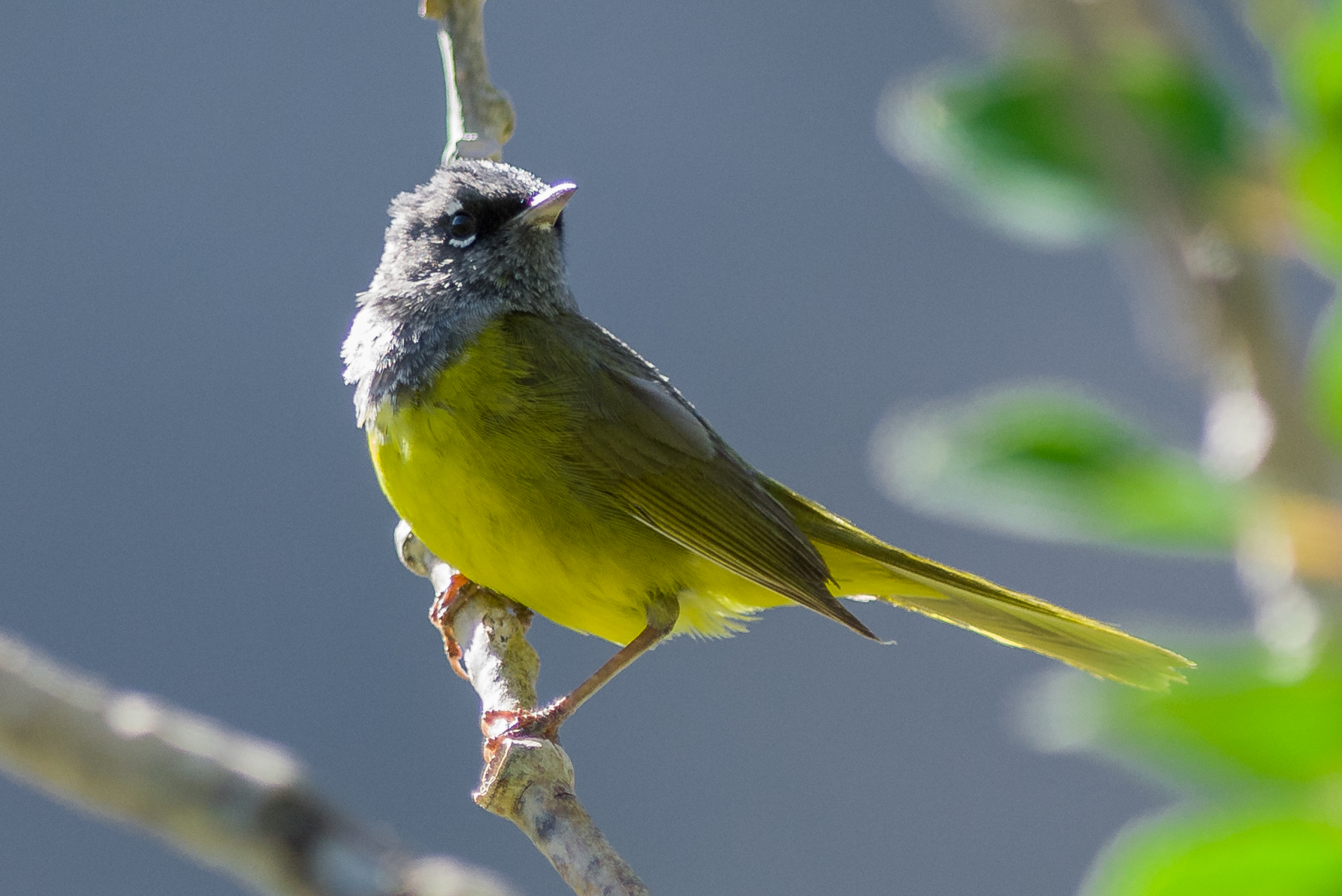 MacGillivray's Warbler (Geothlypis tolmiei)  Trail to Lamoille Lake, ELK (NV)