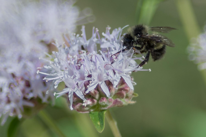 Bumblebee on Sierra Saxifrage (Saxifraga aprica)