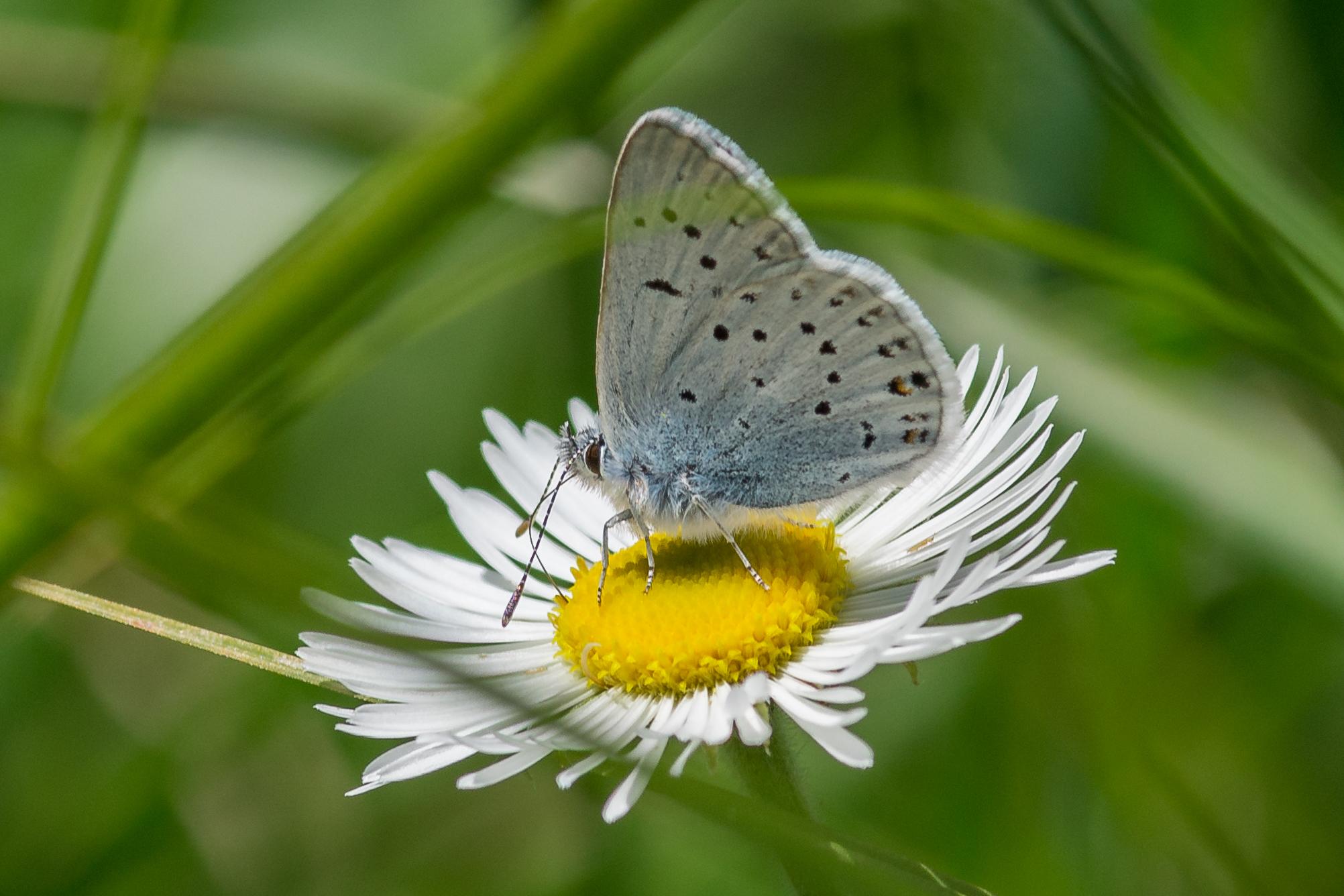 Greenish Blue Butterfly (Plebejus saepiolus) on Oxeye Daisy (Chrysanthemum leucanthemum)