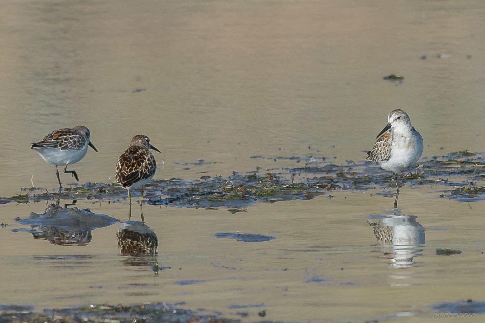 Least with Western Sandpiper   Settings: 450 mm (eqiv), 1/1600s, f/5.6, ISO500, +1/3EV