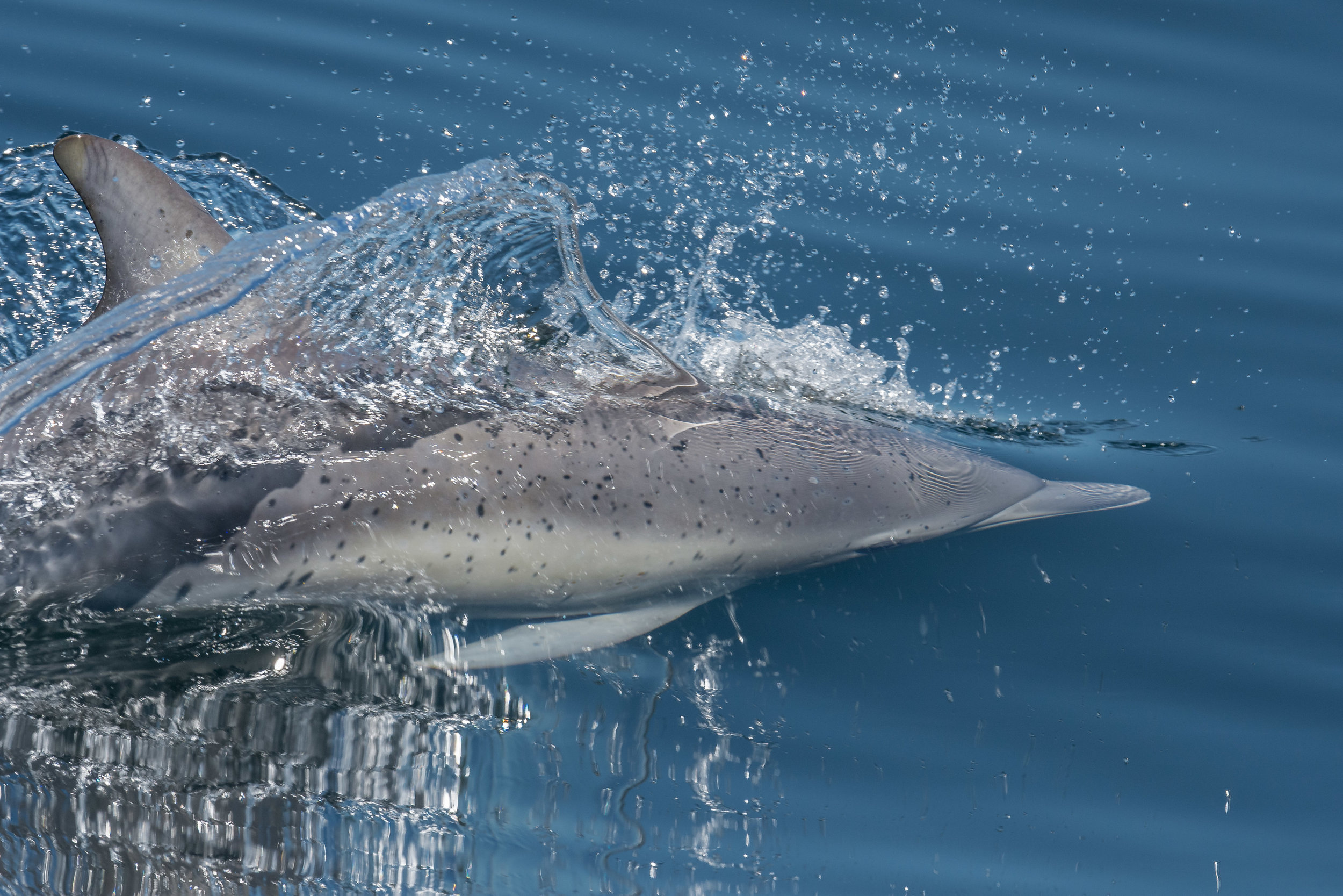 Photo of the Week 40: Common Dolphin (Delphinus capensis) Monterey Bay, MTY-SCZ (NV)  EQ: D7200, 500mm f/4  Taken: 9-25-2016 at 13:25   Settings: 750 mm (35mm eqiv), 1/2000s, f/5.6, ISO400, +1/3EV  Conditions: Sunny
