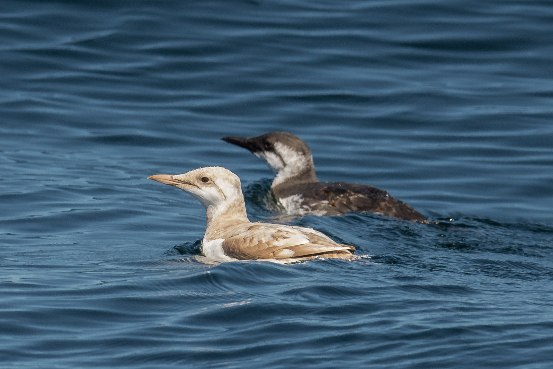 Common Murre with leusitic juvenile (Uria aalge)   Settings: 750 mm (eqiv), 1/2000s, f/5.6, ISO400, +1/3EV (12:50)