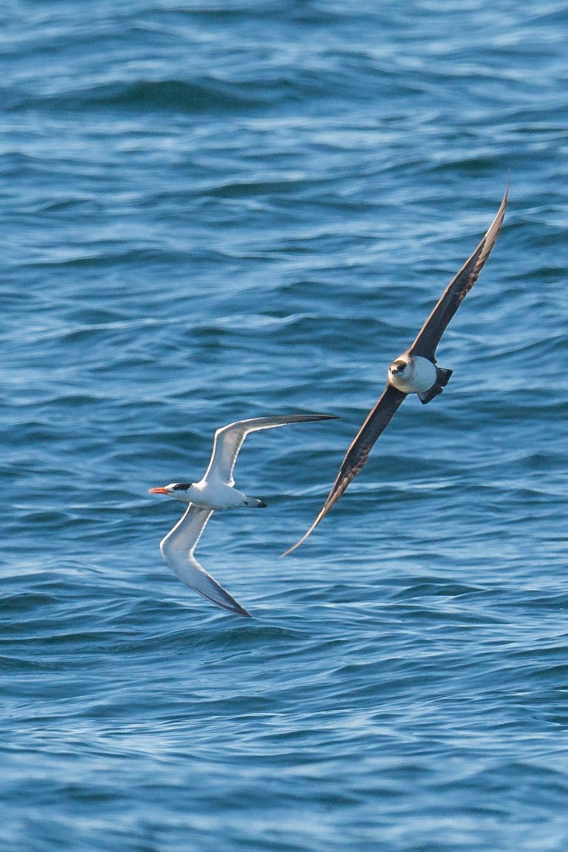 Pomarine Jaeger (Stercorarius pomarinus) Chase on Elegant Tern   Settings: 750 mm (eqiv), 1/1600s, f/5.6, ISO32  0, +1/3EV (10:56a)