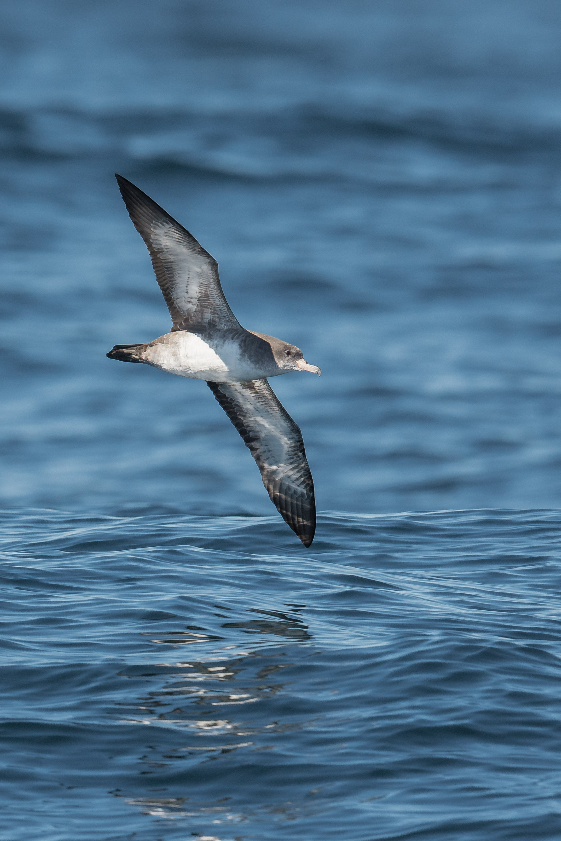 Pink-footed Shearwater (Ardenna creatopus)   Settings: 750 mm (eqiv), 1/1600s, f/5.6, ISO32  0, +1/3EV (11:06a)
