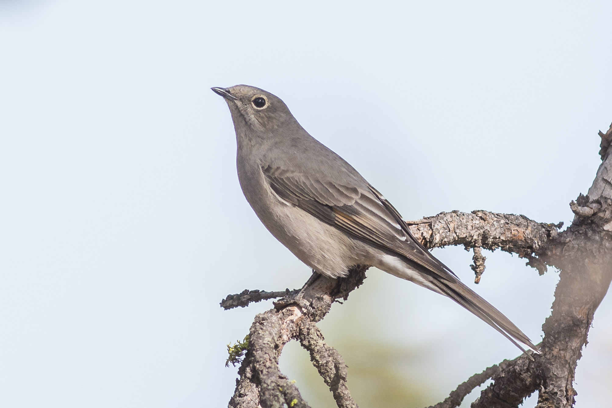 Townsend's Solitaire (Myadestes townsendi) - Sawyer Park, Deschutes Co. (OR)  EQ: D7200, 300mm f/2.8  Taken: 9-30-2016 at 10:37   Settings: 450 mm (35mm eqiv), 1/1250s, f/4.5, ISO250, +1/3EV  Conditions: Shady/Sunny