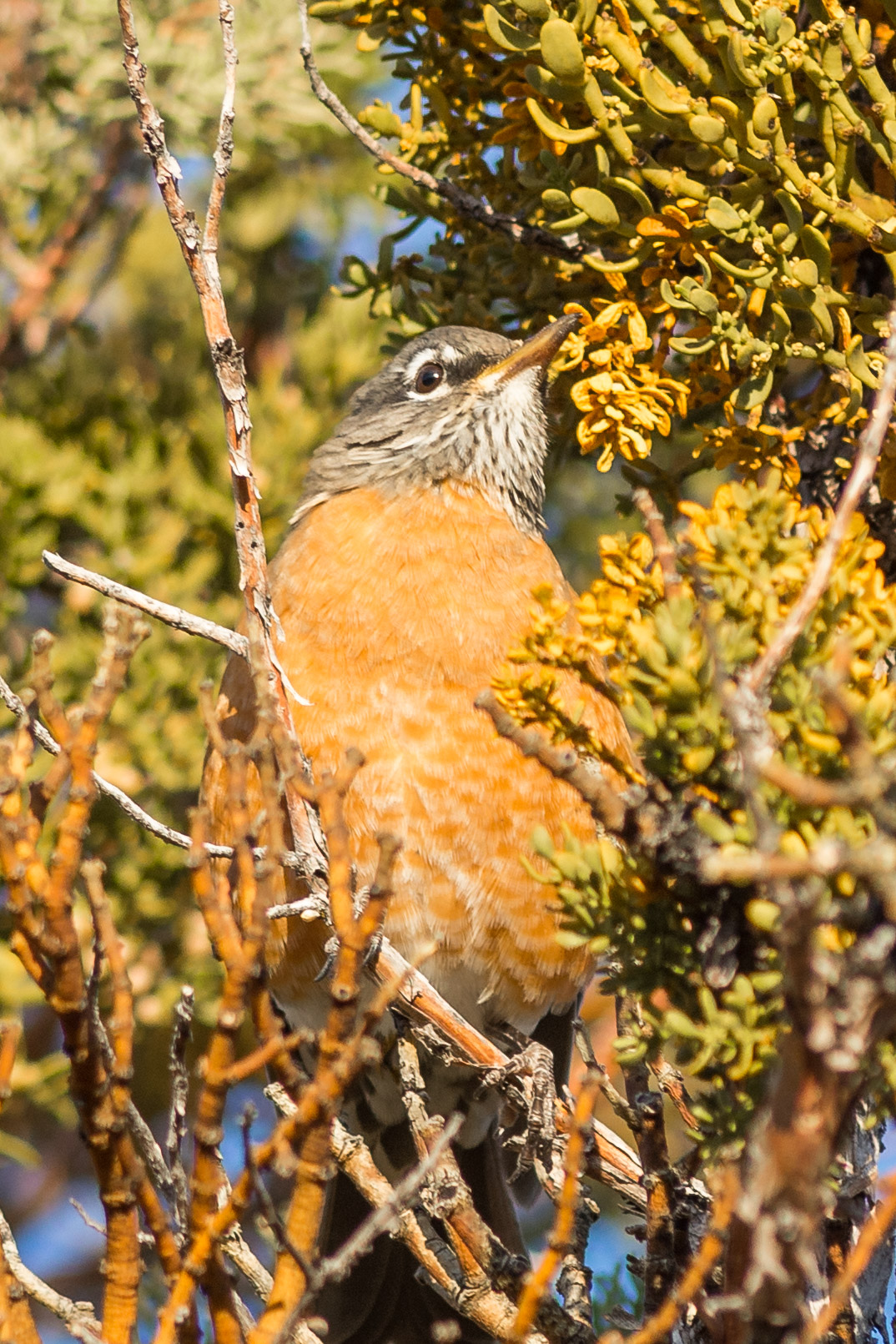 American Robin (Turdus migratorius)- Lava Beds NM, Siskiyou Co. (CA)  EQ: D7200, 300mm f/2.8  Taken: 10-2-2016 at 7:48   Settings: 450 mm (35mm eqiv), 1/1000s, f/3.5, ISO250, +1/3EV  Conditions: Sunny