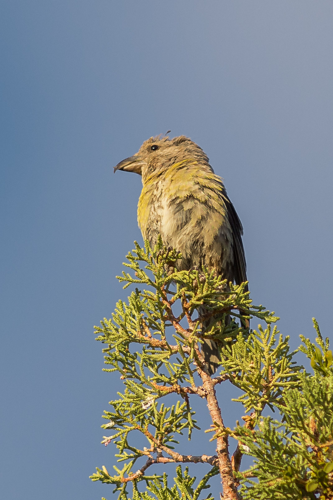 Red Crossbill, female (Loxia curvirostra)- Lava Beds NM, Siskiyou Co. (CA)  EQ: D7200, 300mm f/2.8  Taken: 10-2-2016 at 7:43   Settings: 450 mm (35mm eqiv), 1/1000s, f/3.5, ISO220, +1/3EV  Conditions: Sunny