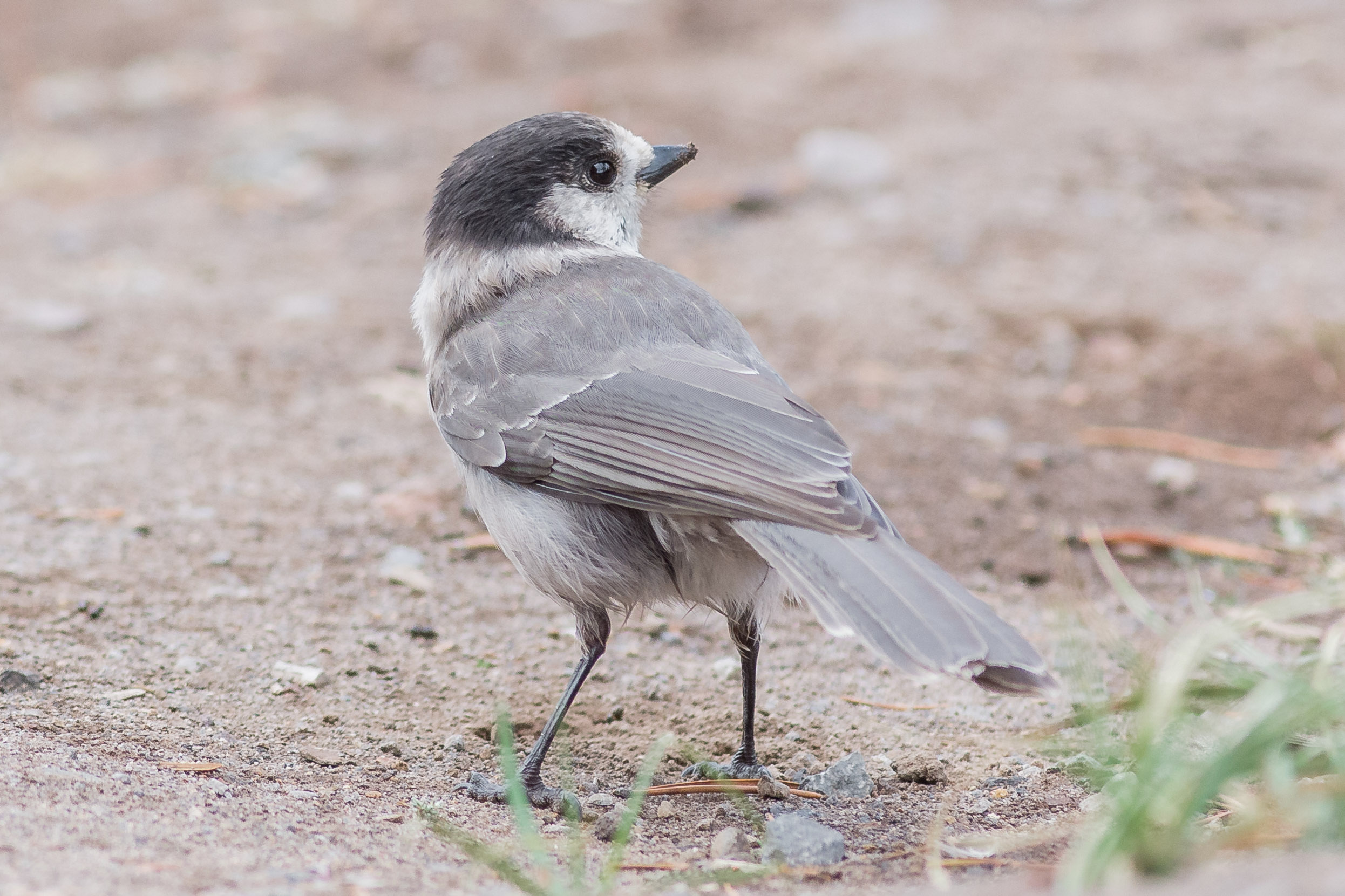 Gray Jay (Perisoreus canadensis) - Crater Lake NP , Klamath Co. (OR)  EQ: D7200, 300mm f/2.8  Taken: 10-1-2016 at 13:08   Settings: 450 mm (35mm eqiv), 1/1000s, f/3.5, ISO640, +1/3EV  Conditions: Foggy light drizzle