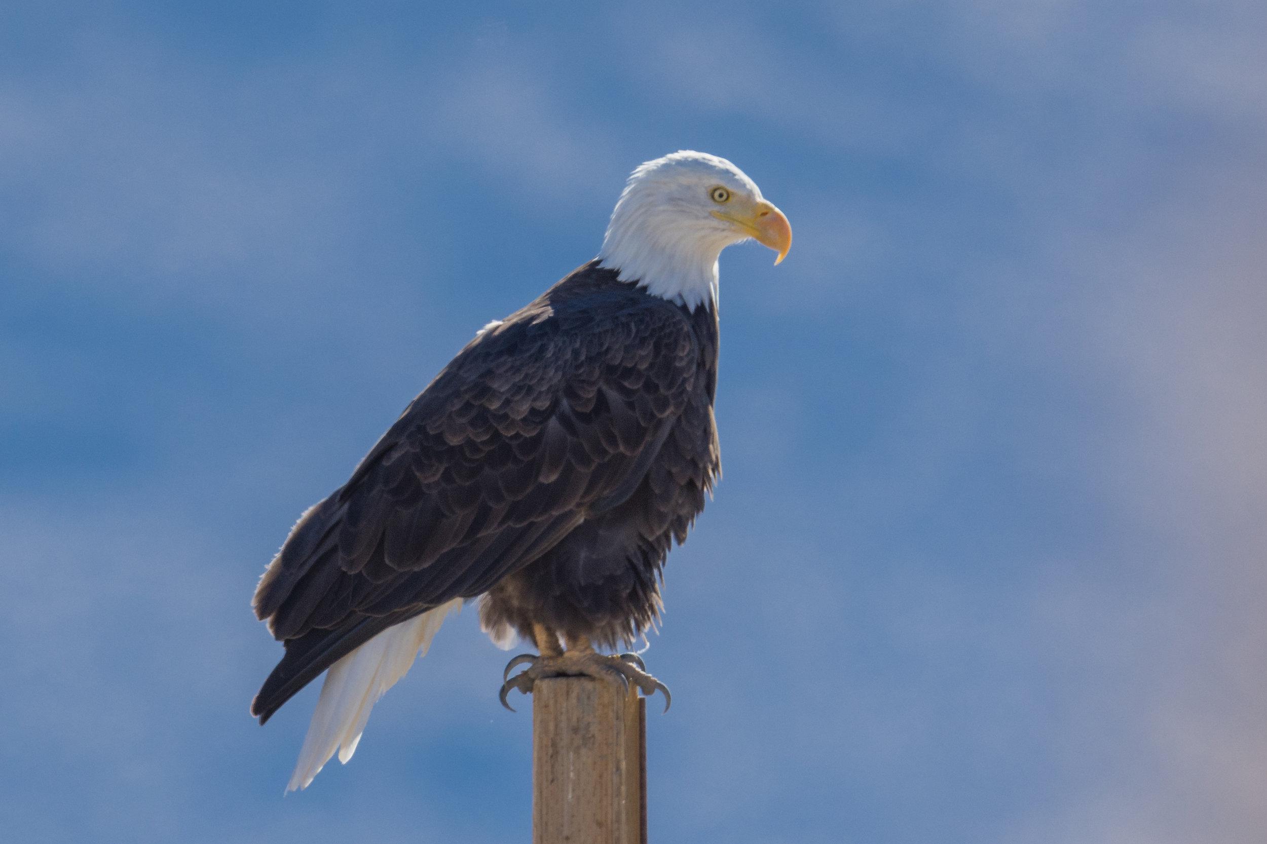 Washoe Lake SP, Taken: 11-9-2016 at 11:38, Sunny  EQ: D7200, 500mm f/4   Settings: 750 mm (eqiv), 1/1600s, f/5.6, ISO250, +1/3EV