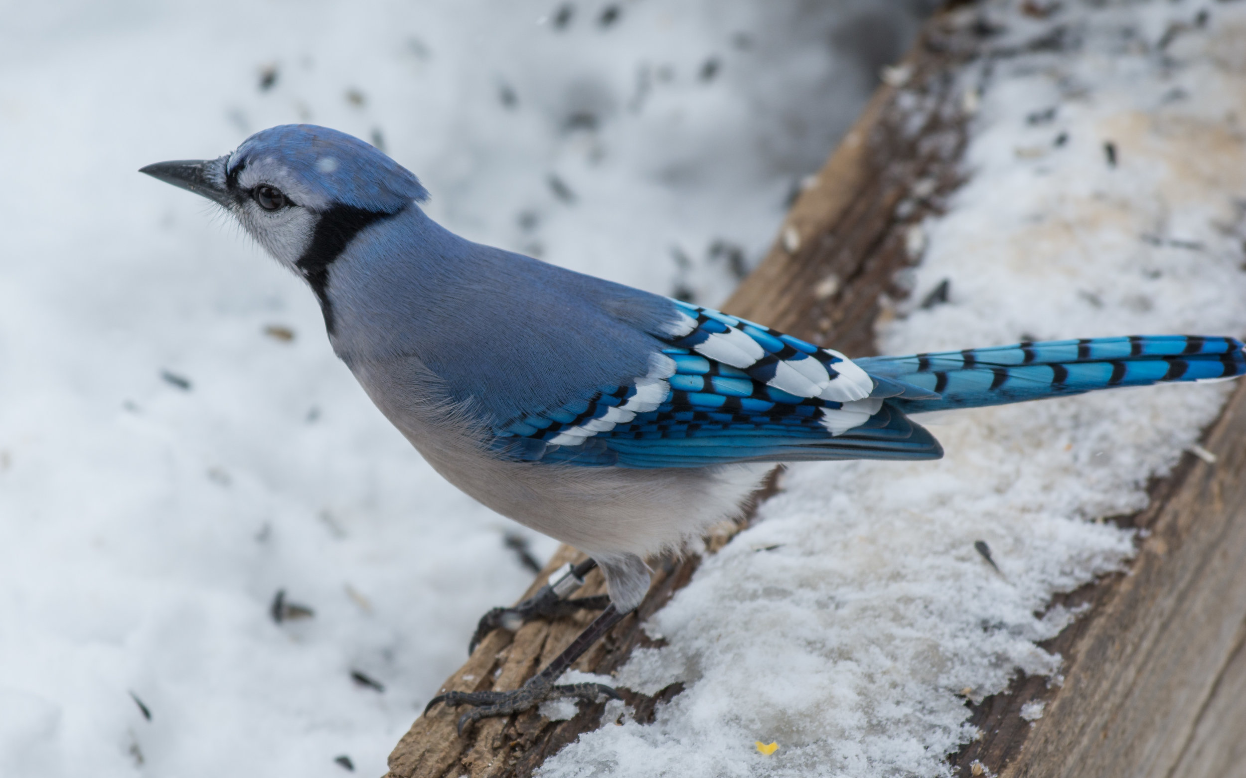 Blue Jay (Cyanocitta cristata) - Barr Lake SP, Adams Co. (CO)  EQ: D7100, 70-200mm f/4.0  Taken: 2-26-2015 at 12:35   Settings: 300 mm (35mm eqiv), 1/500s, f/5.6, ISO100, +2/3EV  Conditions: Snow