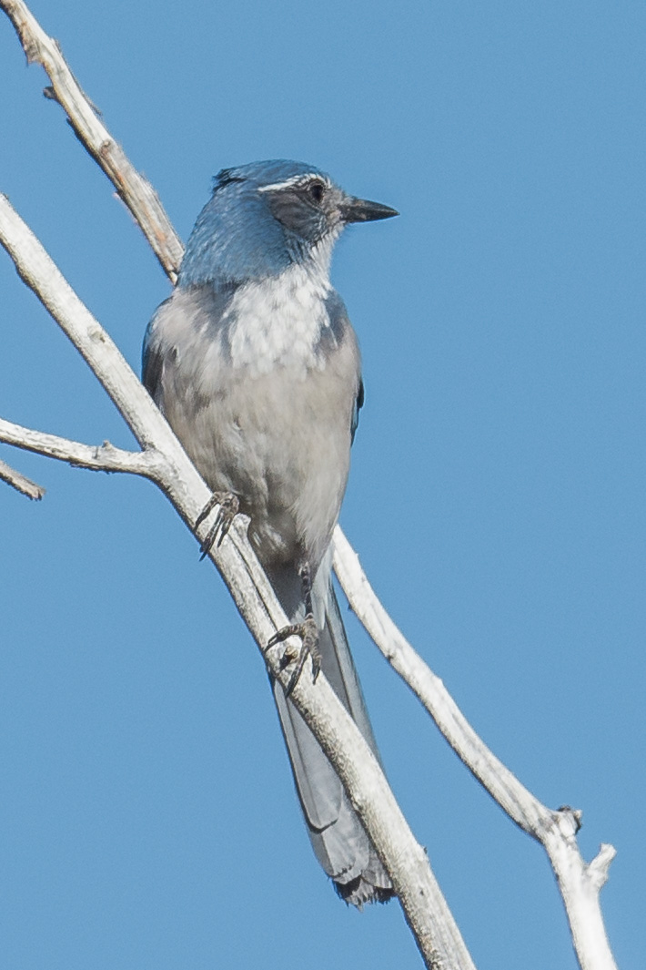 Woodhouse's Scrub-Jay (Aphelocoma woodhouseii), Jumbo Grade, WAS (NV)  EQ: D7200, 500mm f/4.0  Taken: 10-5-2016 at 9:43   Settings: 750 mm (35mm eqiv), 1/1600s, f/5.0, ISO320, +1/3EV  Conditions: Sunny