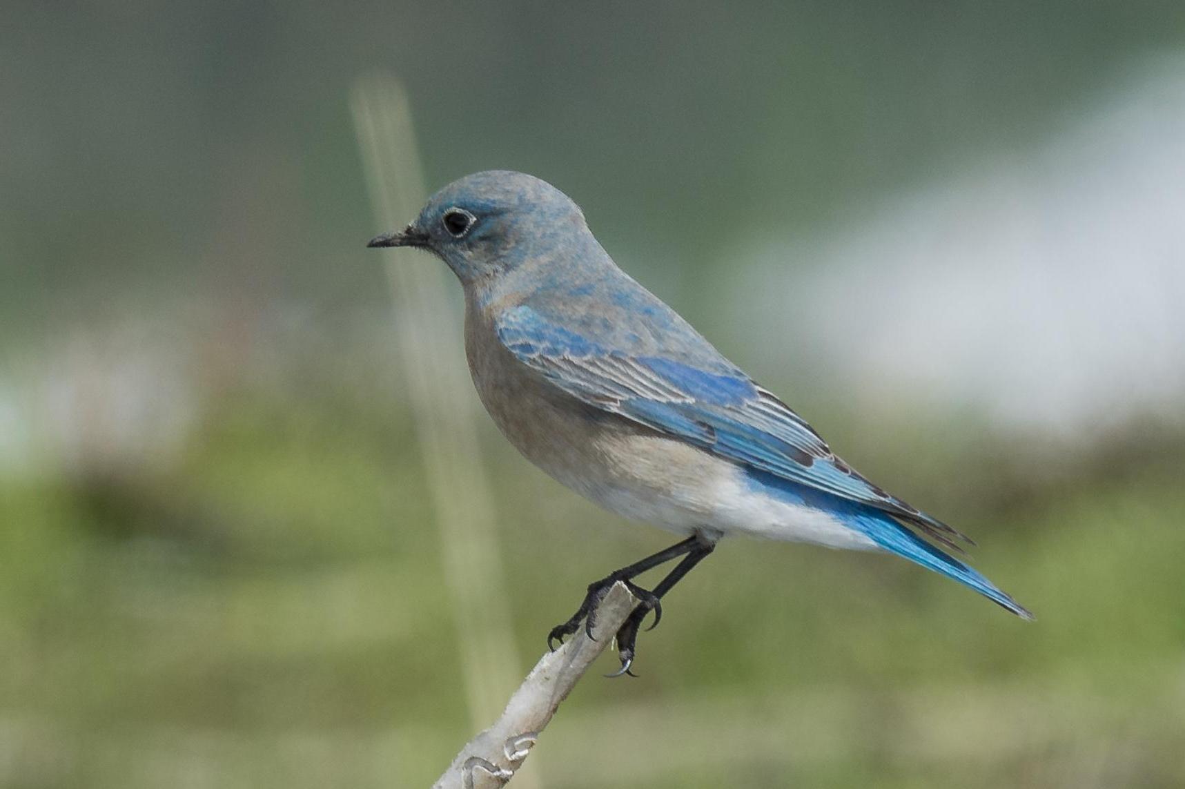 Moutain Bluebird