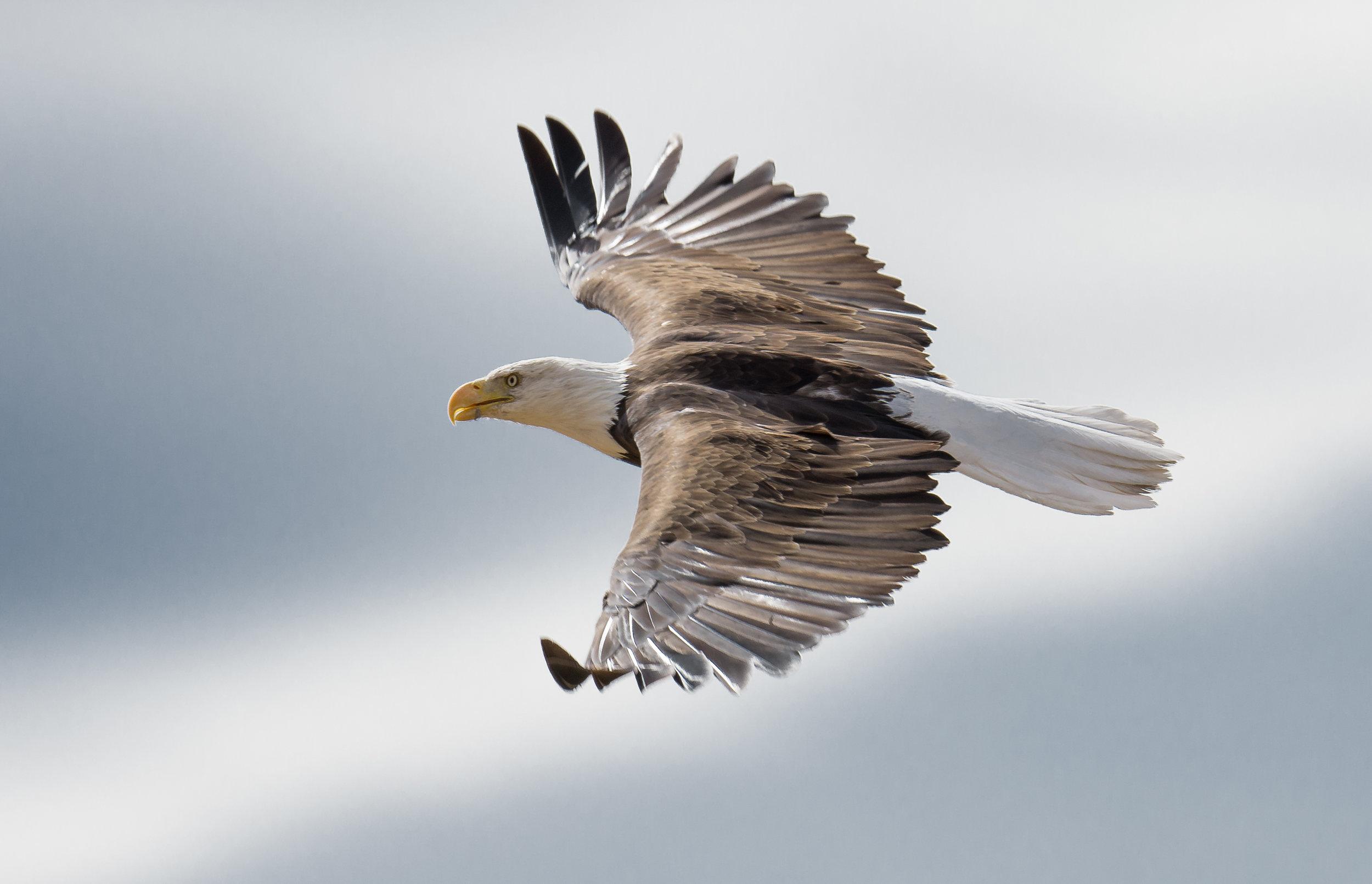 Bald Eagle (Haliaeetus leucocephalus) at Little Washoe Lake, WAS (NV)