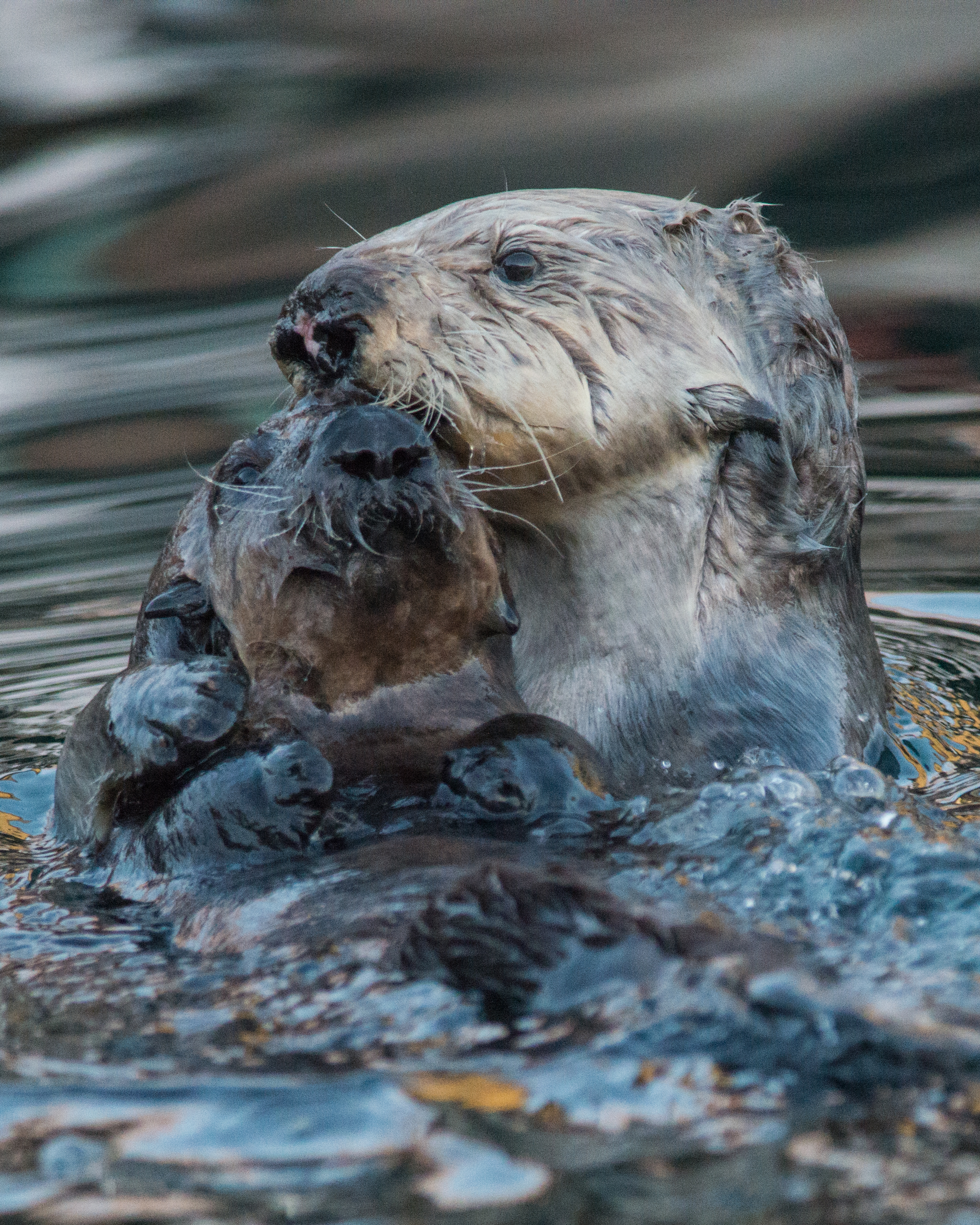 Sea Otter and pup, MTY (CA)