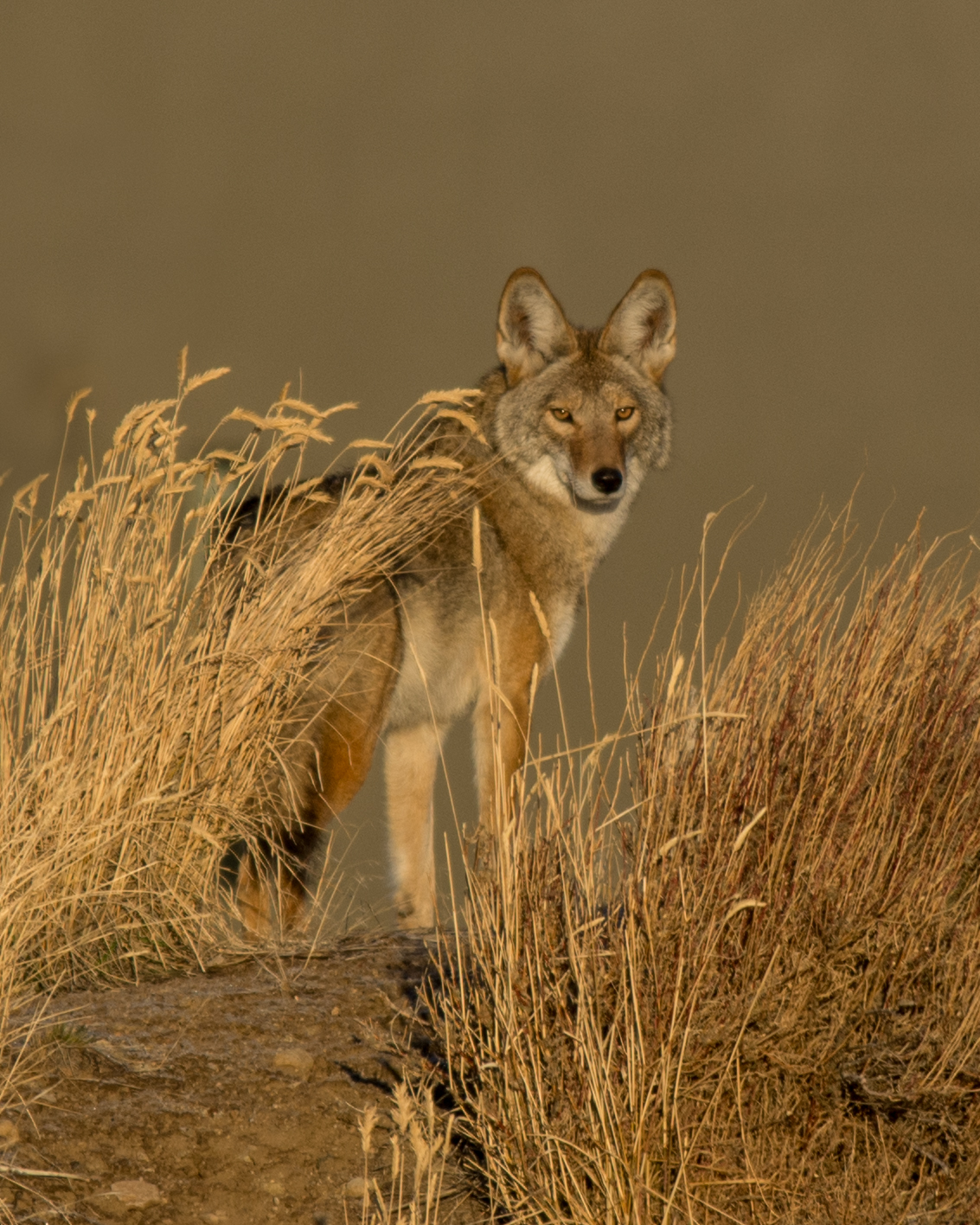 Coyote in morning light, WAS (NV)