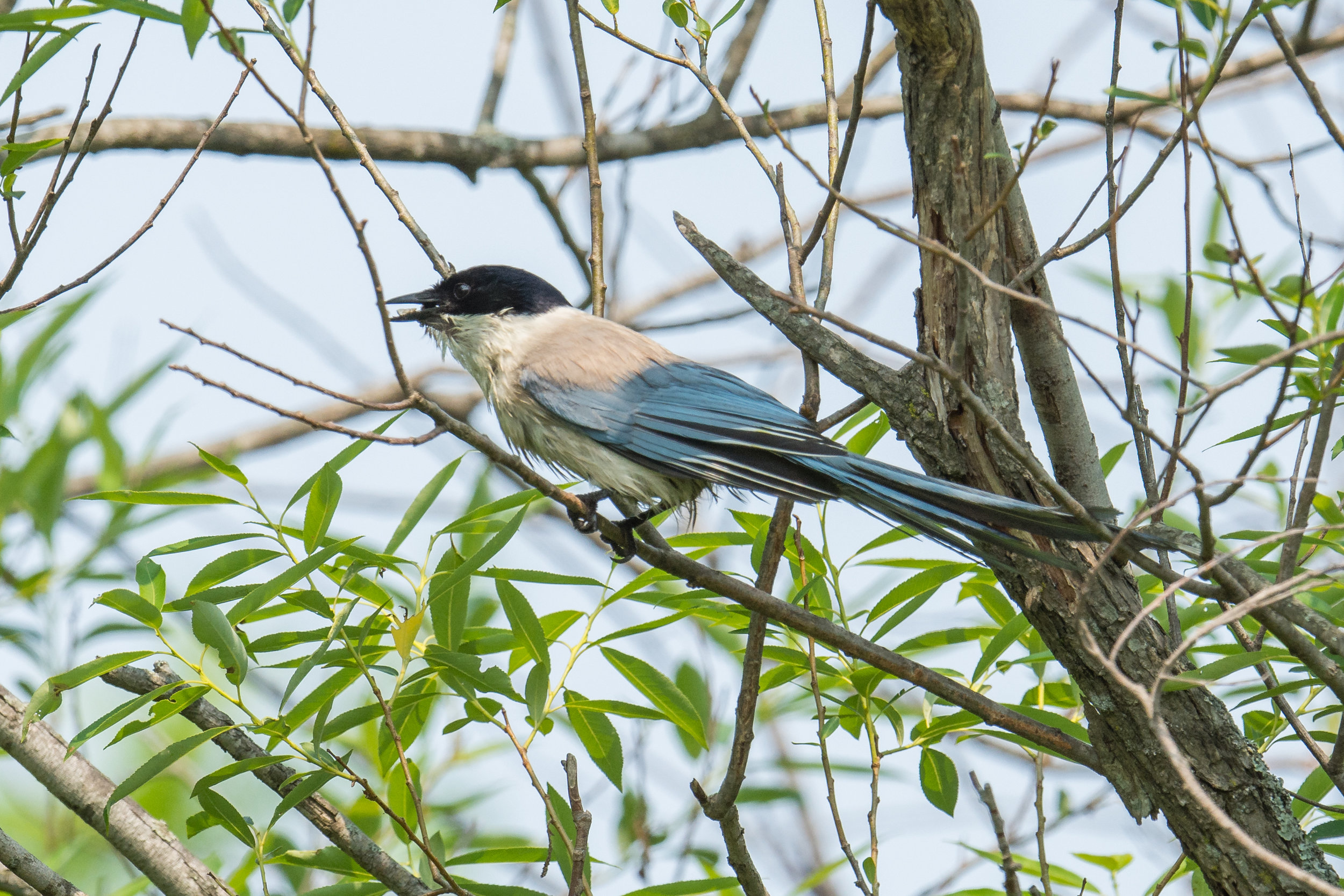 Azure-winged Magpie (Cyanopica cyanus), Zanadvorovka area, Primorskiy kraj, Russia  EQ: D7200, 500mm f/4.0   Taken: 6-18-2017 at 16:31   Settings: 750mm, 1/1250s, f/6.3, ISO320, 1/3EV         Conditions: Foggy