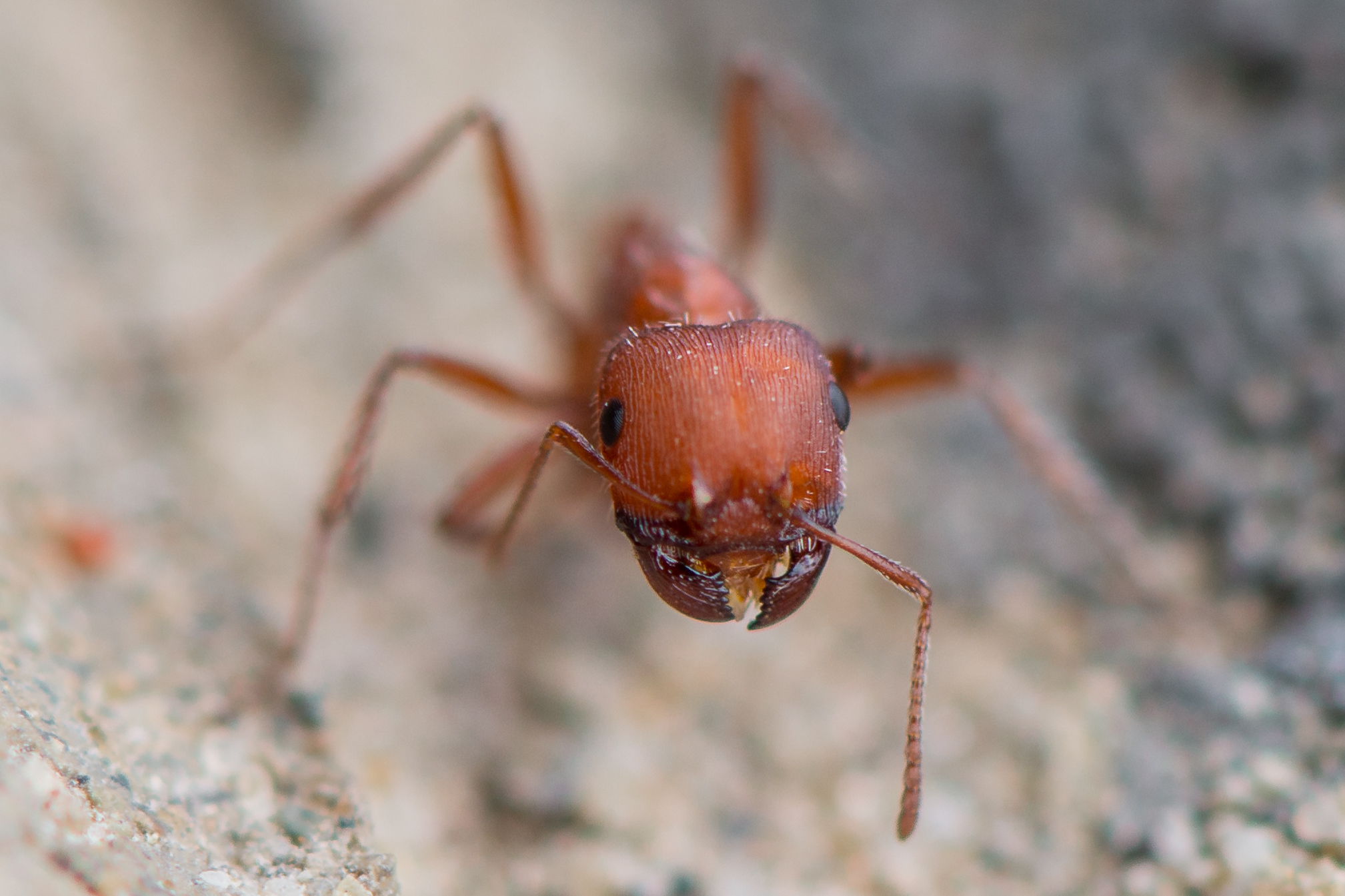 Red Harvester Ant (Pogonomyrmex barbatus), WAS (NV)