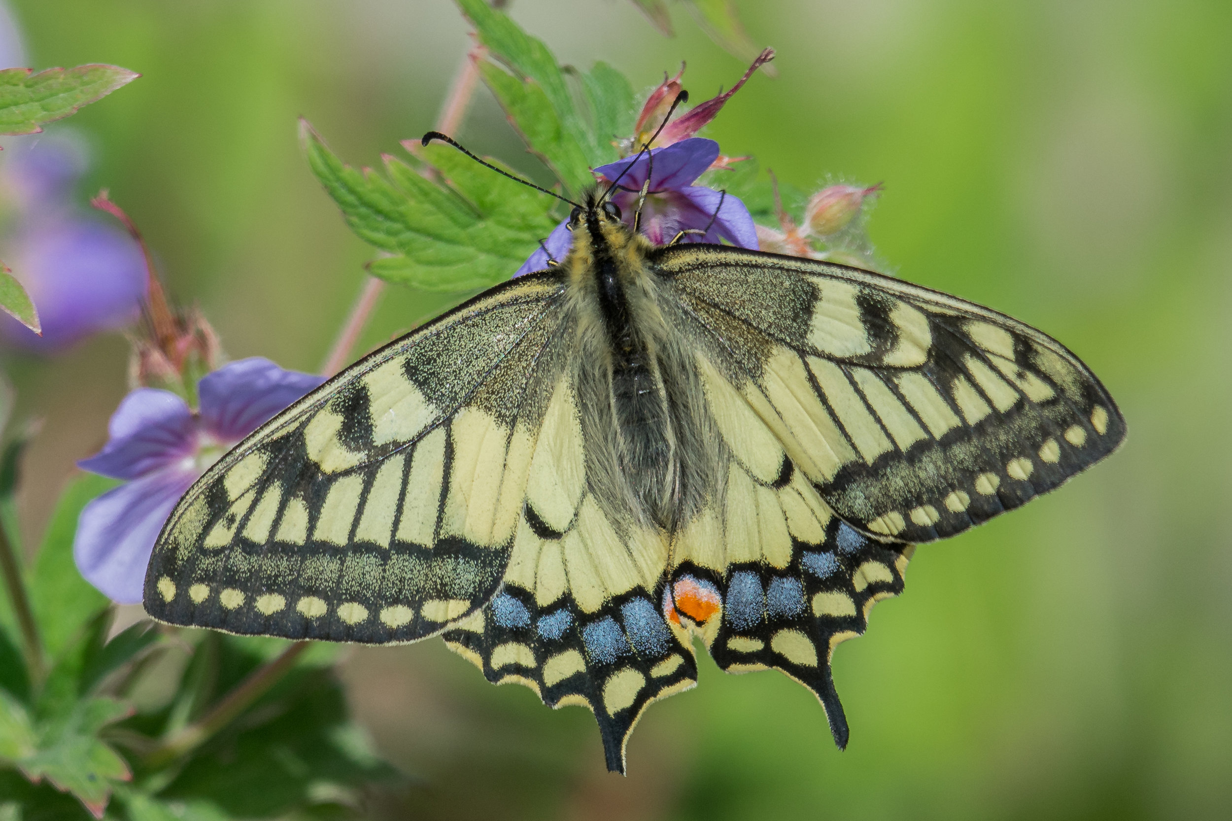 Swallowtail Butterfly (Papilio machaon gorganus), KAM (RU)