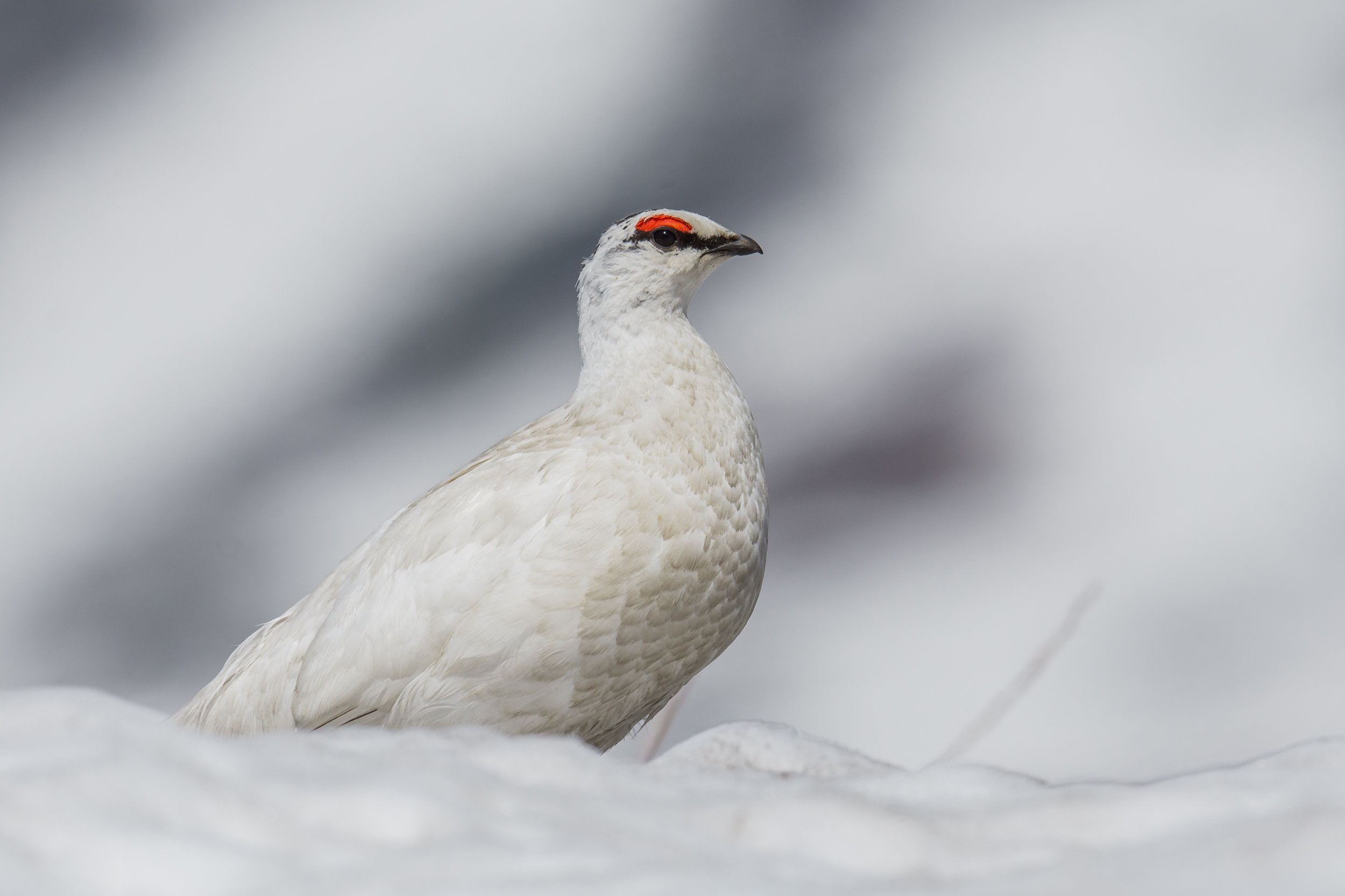 Rock Ptarmigan (Lagopus muta), a surprise, which I saw out the window from the back seat. I shouted stop, quick stop and my drop off to find this. Many photos.