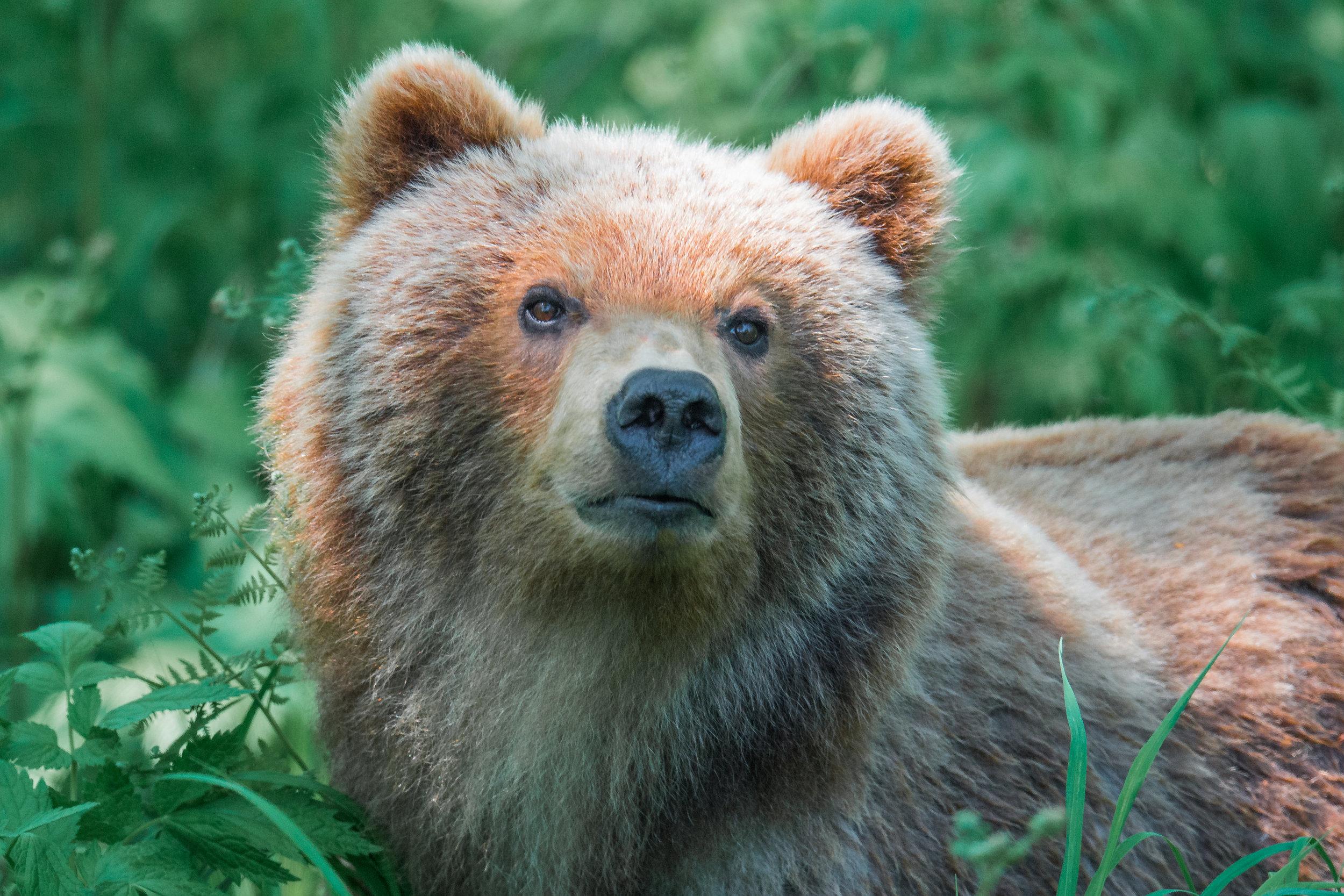 Featured Photo 51: Kamchatka Brown Bear (Ursus arctos beringianus), Vilyuchinskiy Pereval, KAM (RU)  EQ: D7200, 500mm f/4.0  Taken: 6-26-2017 at 14:23   Settings: 750mm (35mm eqiv), 1/800s, f/4.0, ISO640, 1/3EV  Conditions: Shaddy