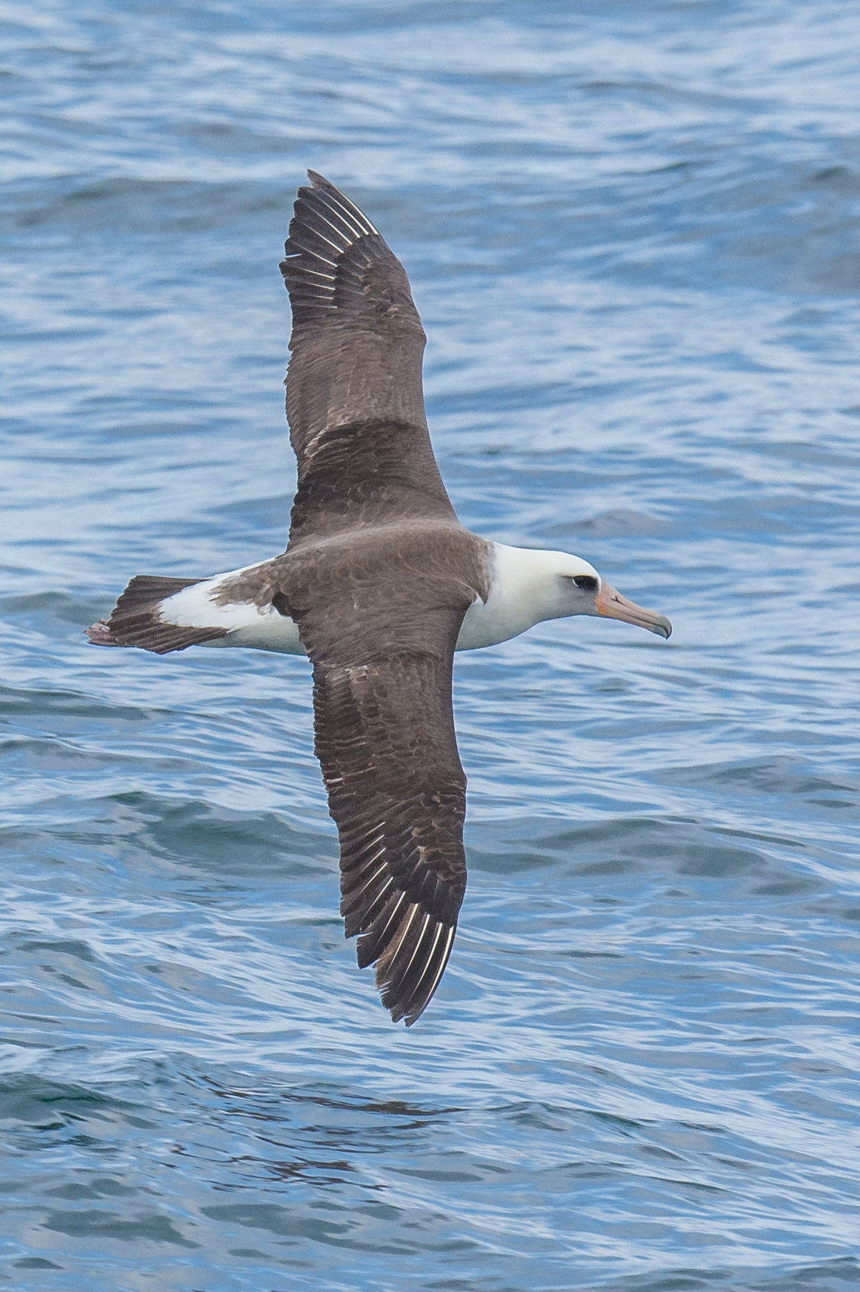 Laysan Albatross (Phoebastria immutabilis), Transit to Zhupanova River, KAM (RU)