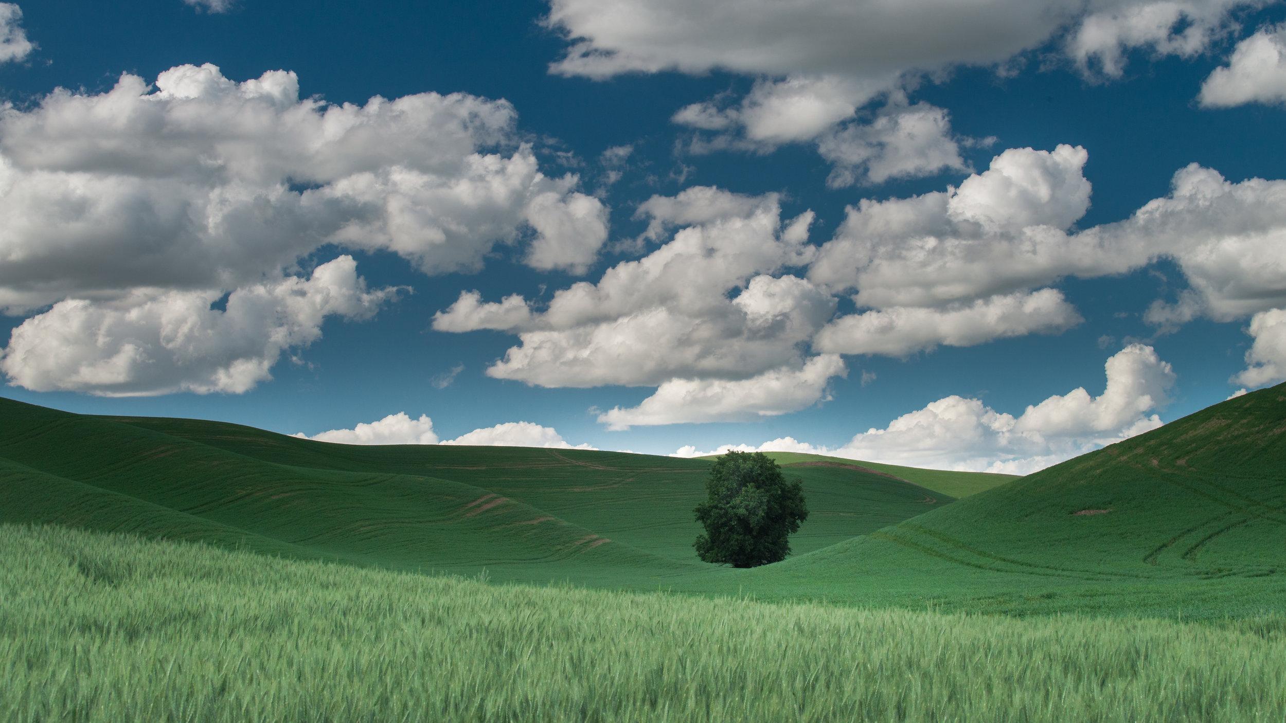 Lone Tree in field of Wheat, Palouse (WA)