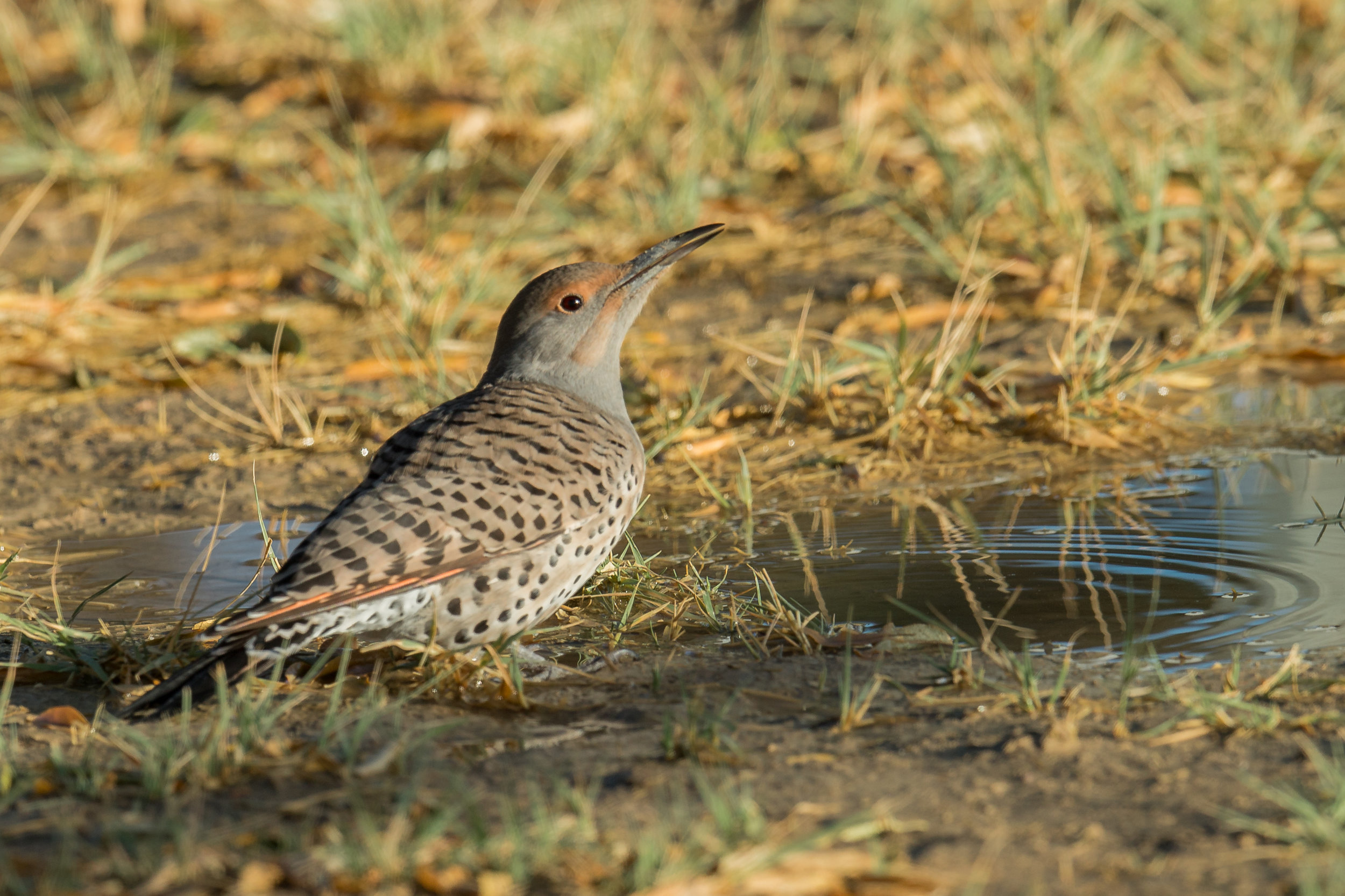 Northern Flicker, Red-shafted(Colaptes auratus [cafer Group])